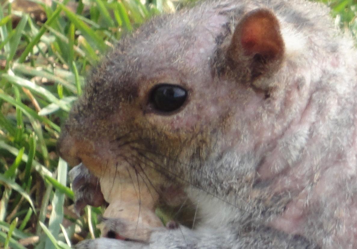 Squirrel eye