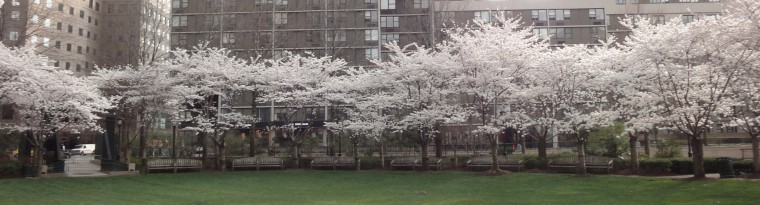 cropped-Cherry-trees-March-23-2012.jpg