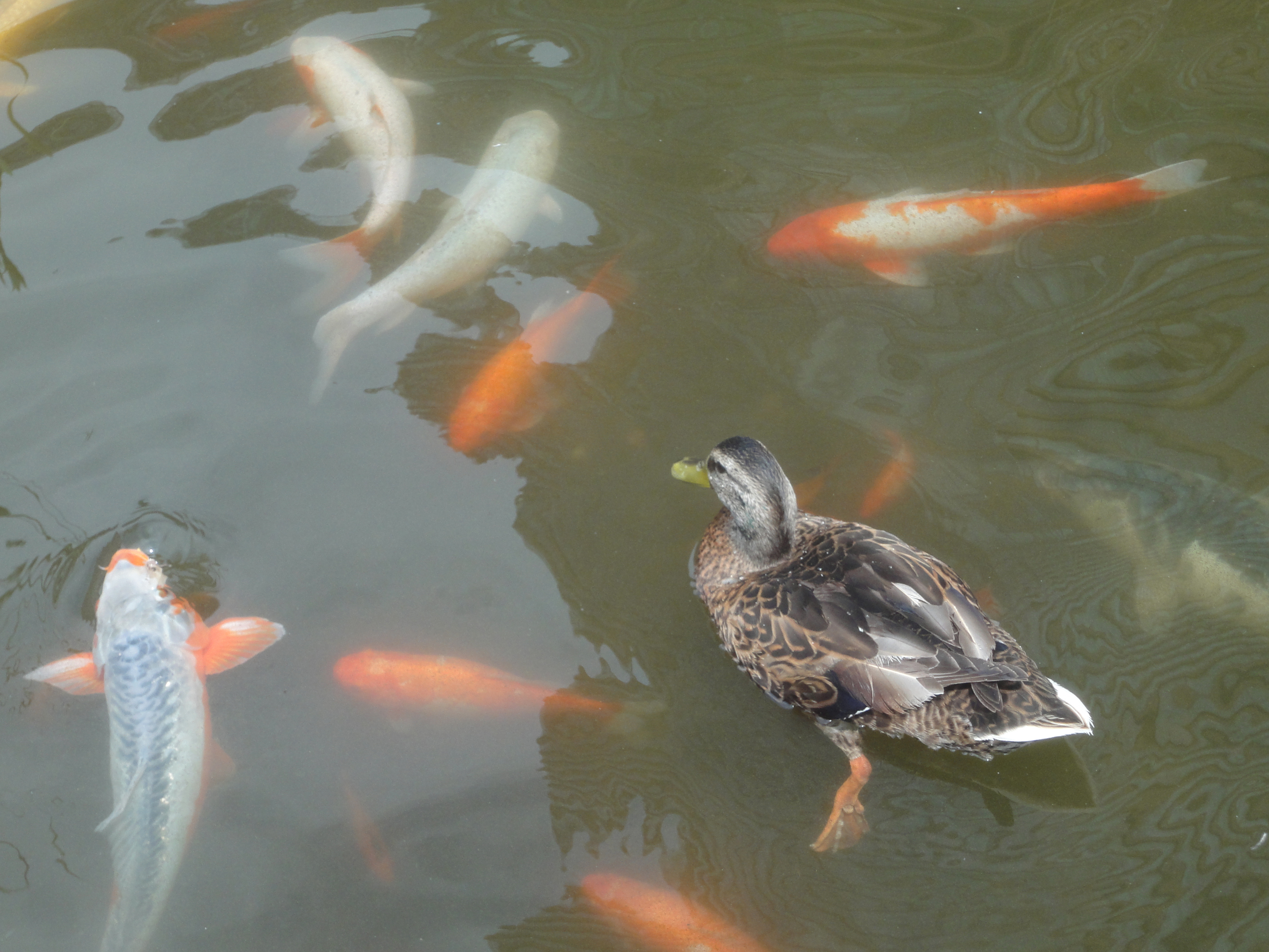 Duck and Koi July 14 2012