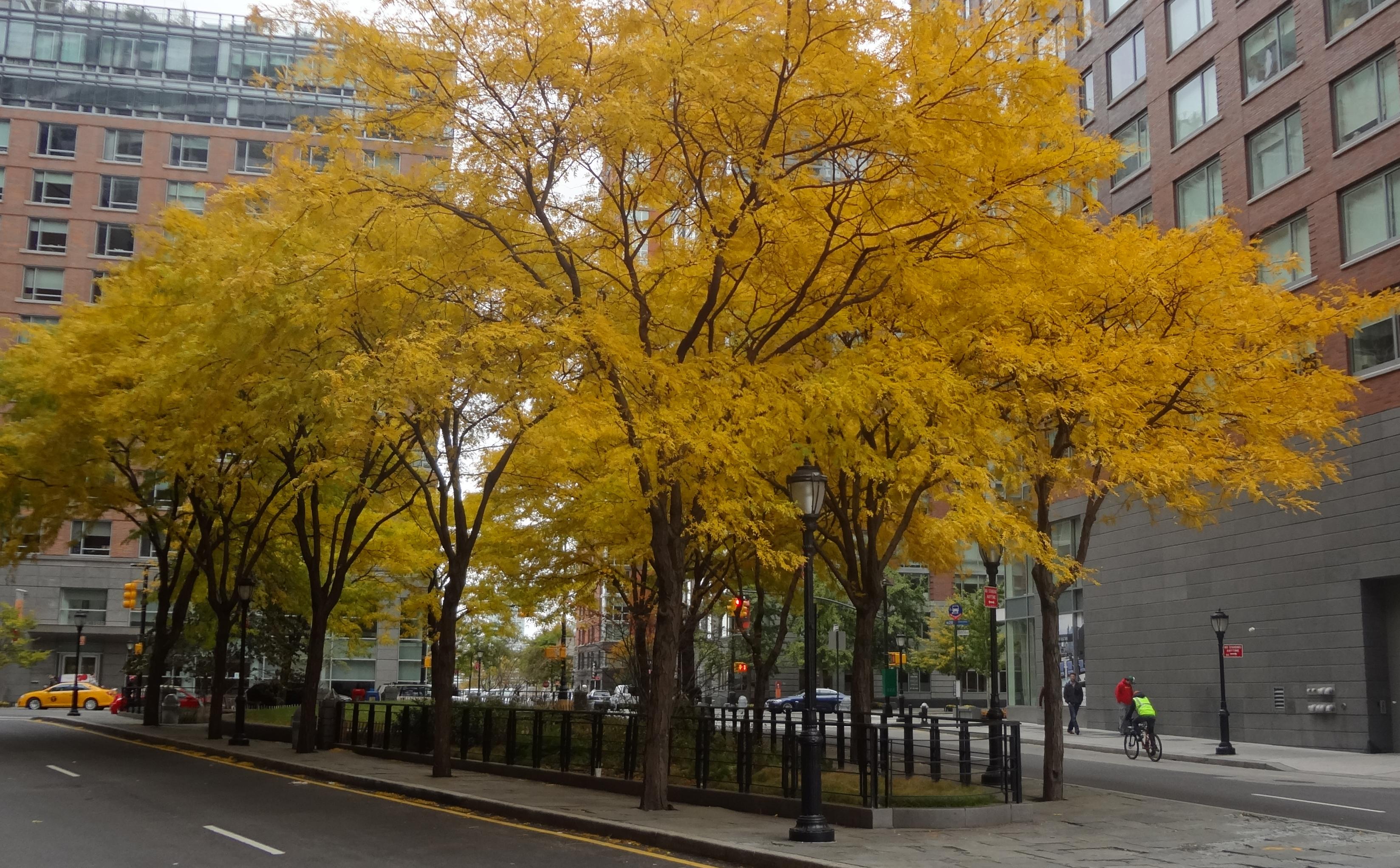 Yellow locust trees on Murray 11-3-2013