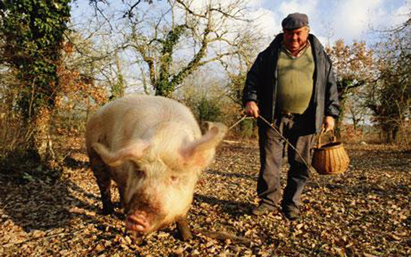 Mature man with pig searching for truffles