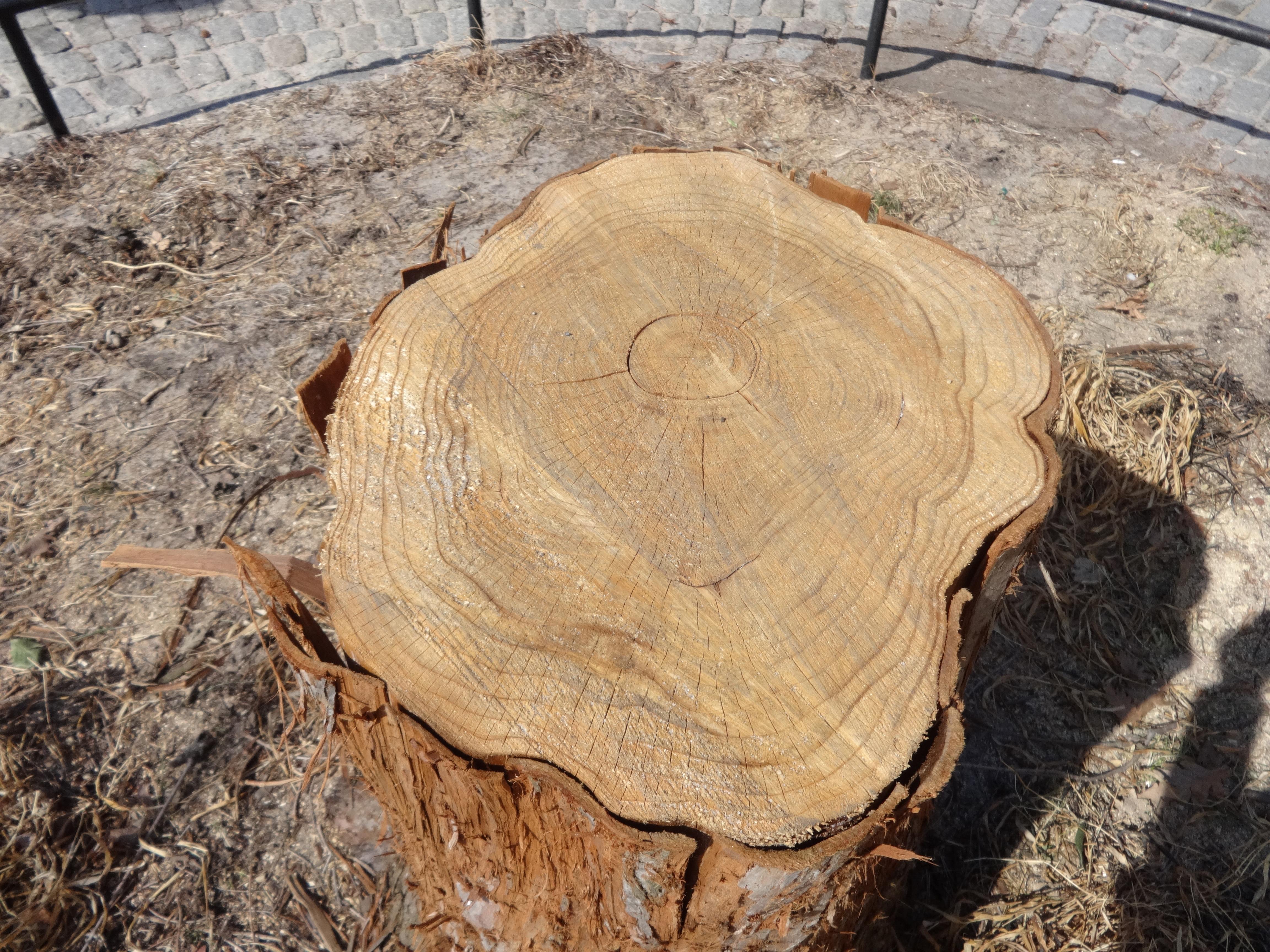 sequoia stump close