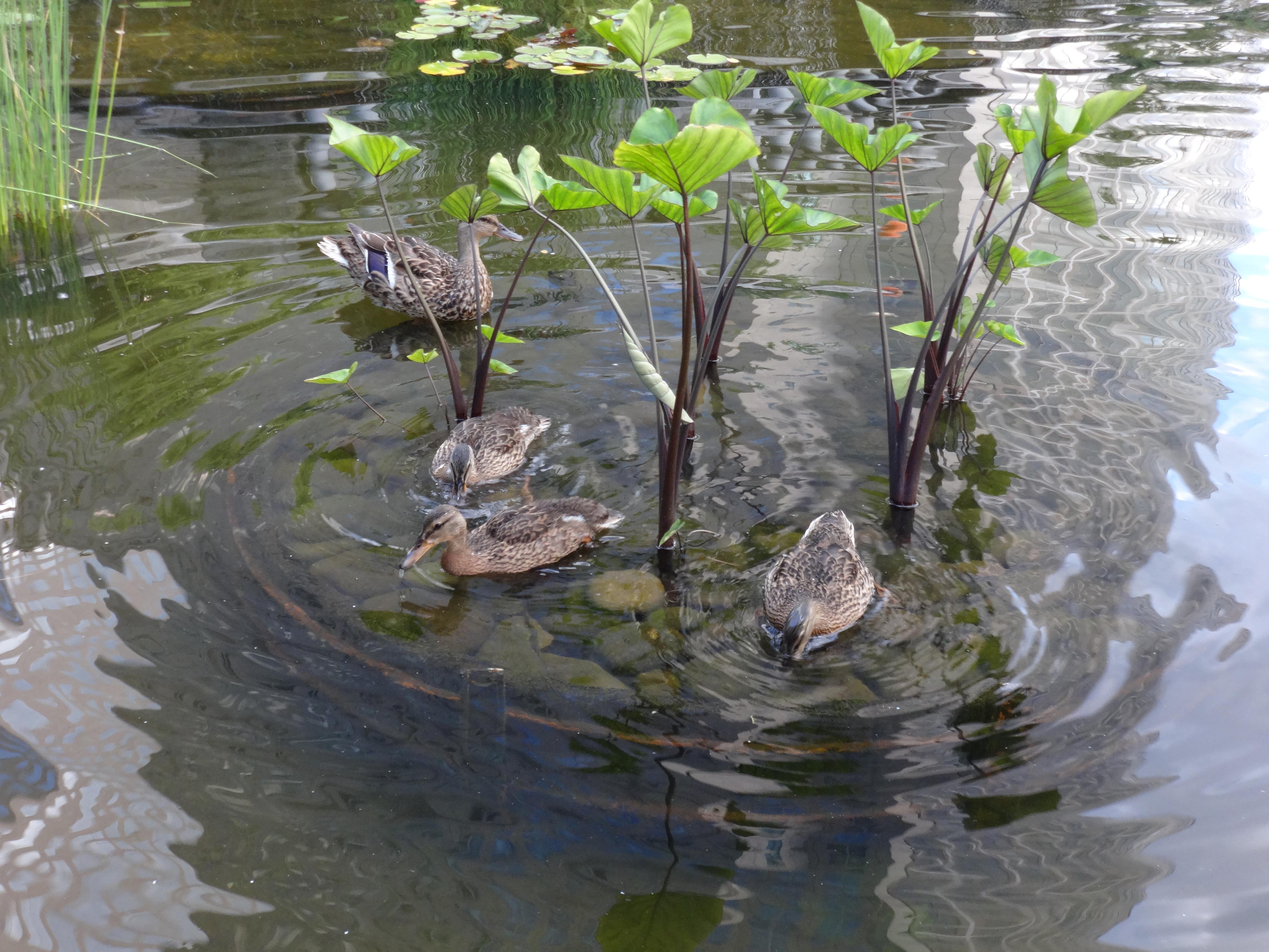 Ducklings 7-24-2014