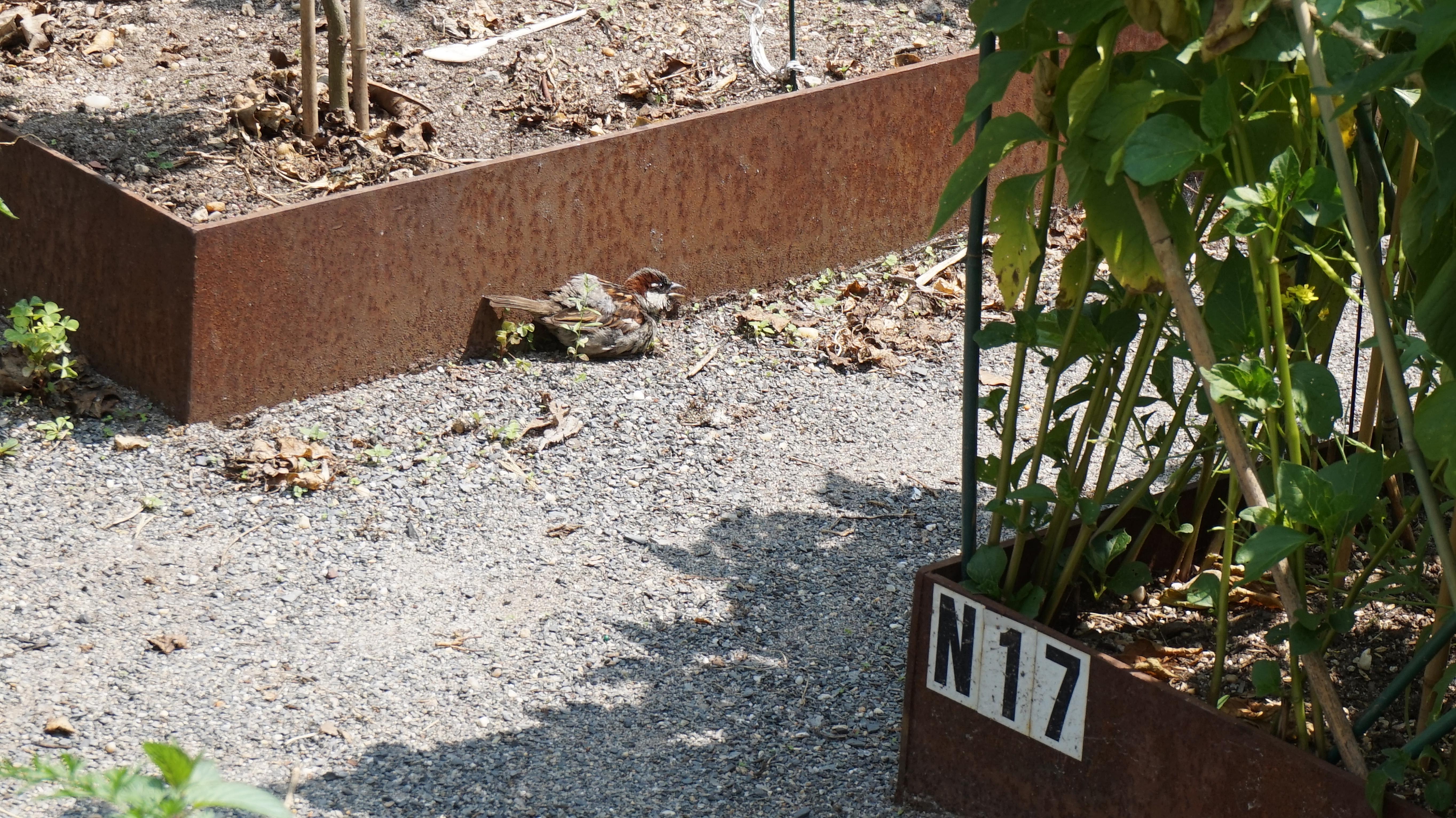 Sunbathing finch