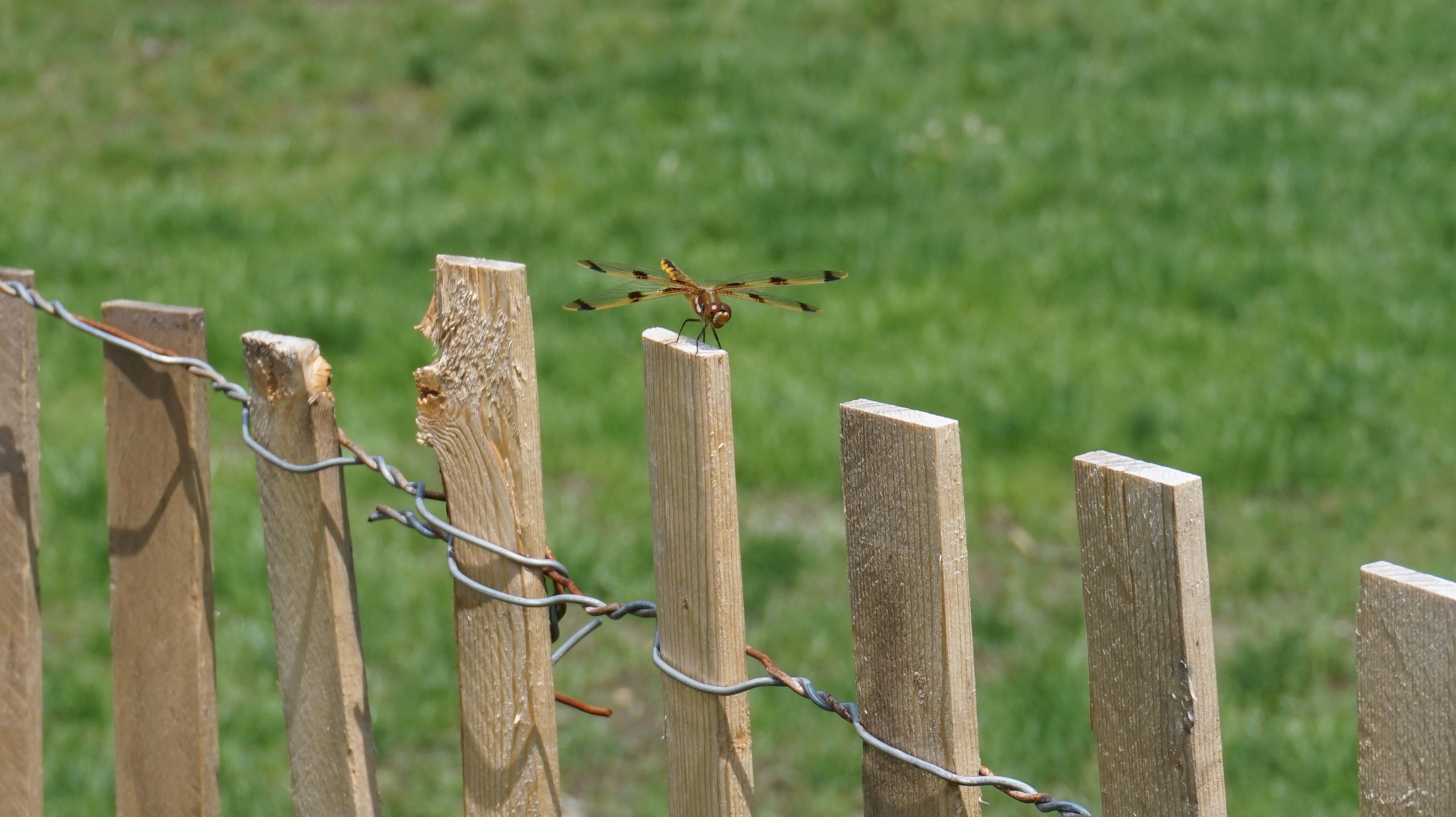 dragonfly on wood post low