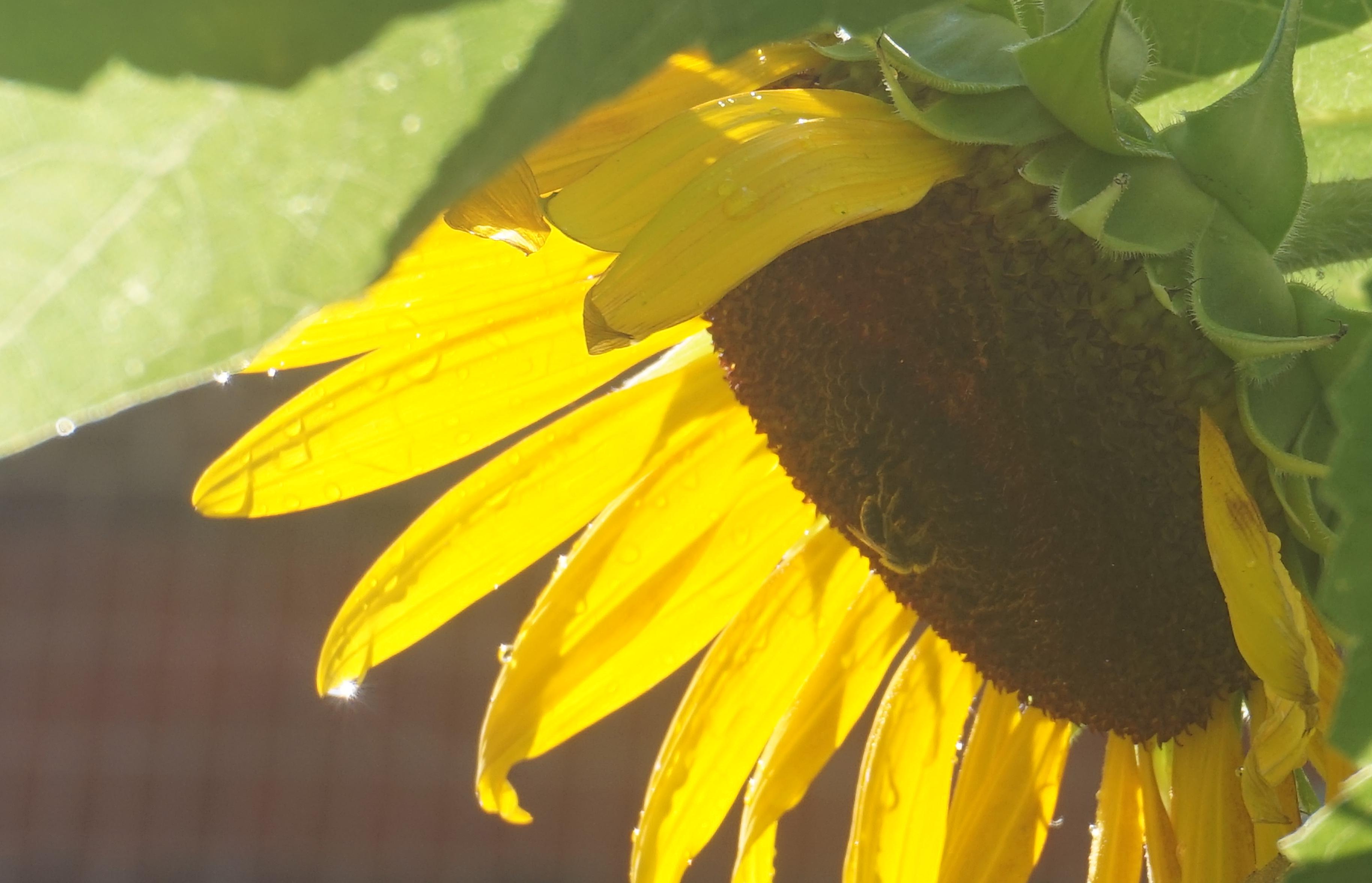 Bee under sunflower