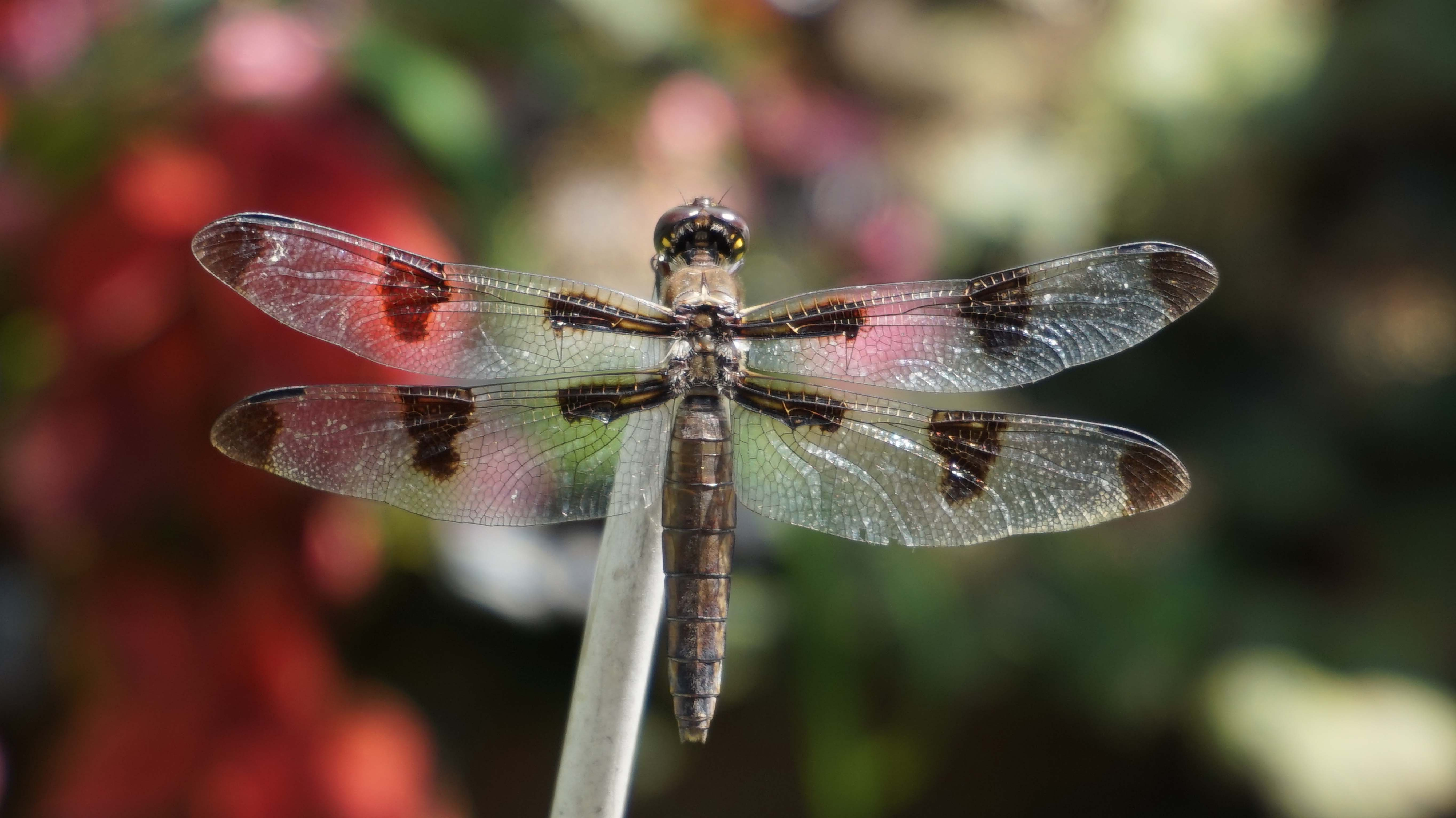 Brown dragonfly C 8-25-2014 low