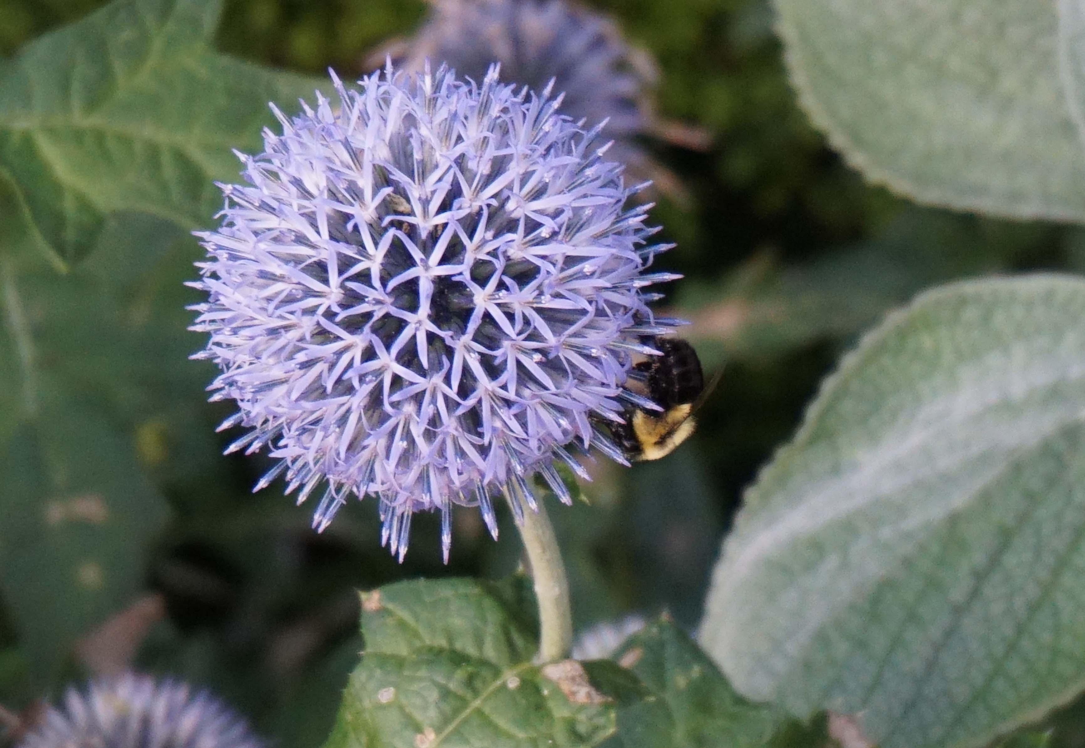 Bumblebee in purple flower low