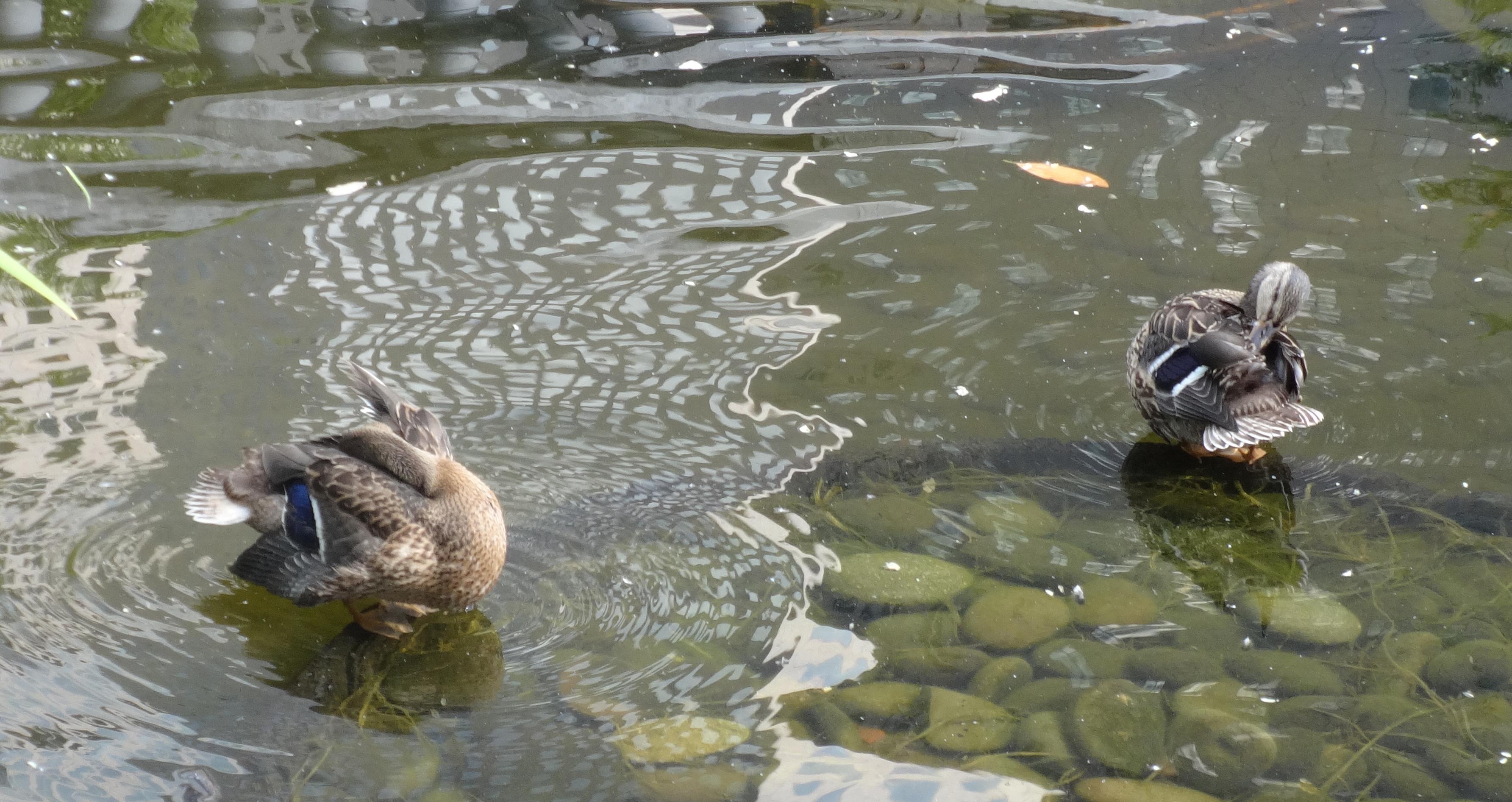 Mature ducklings 8-17-2014