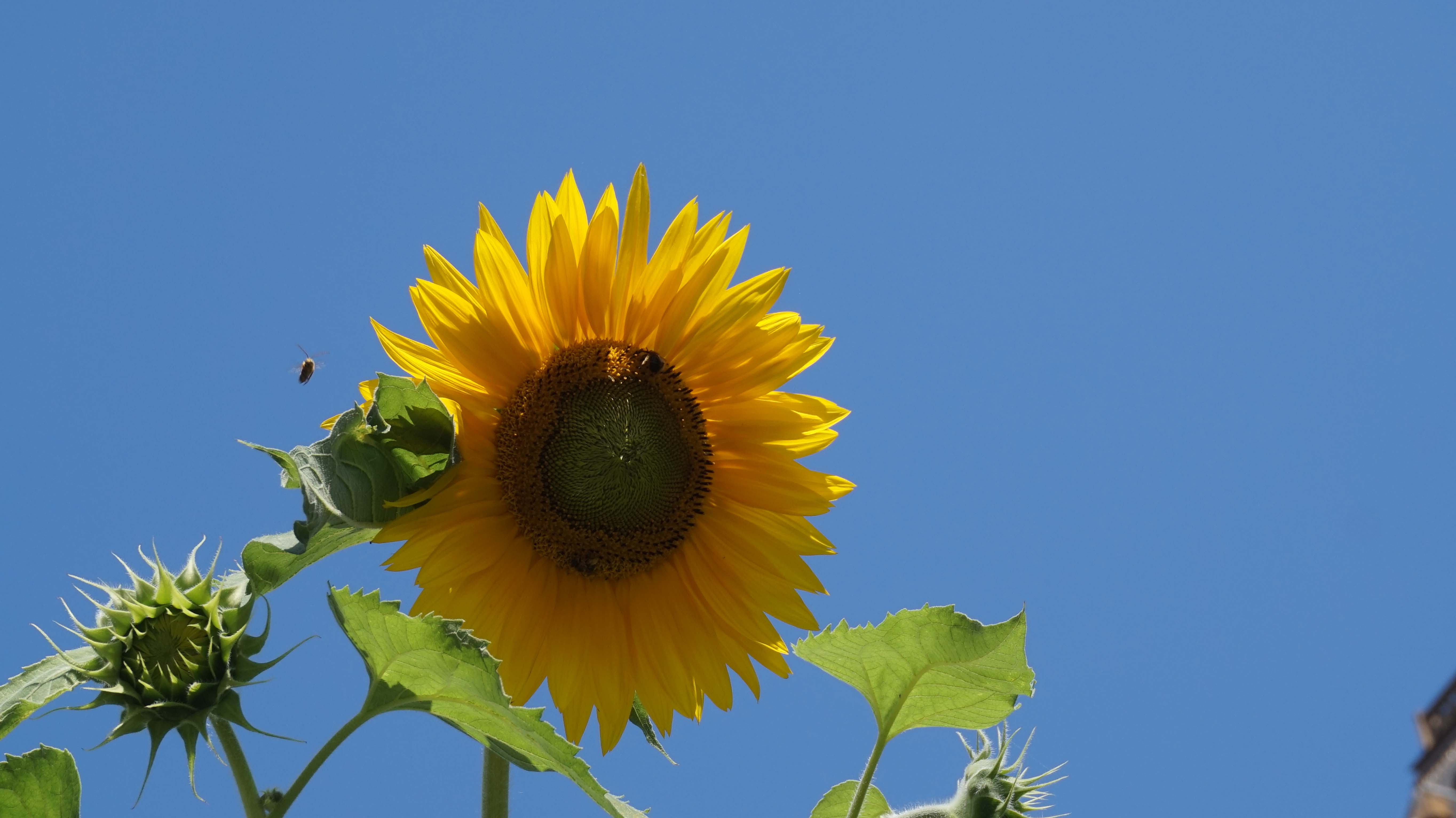 sunflower and bees 8-25-2014 low