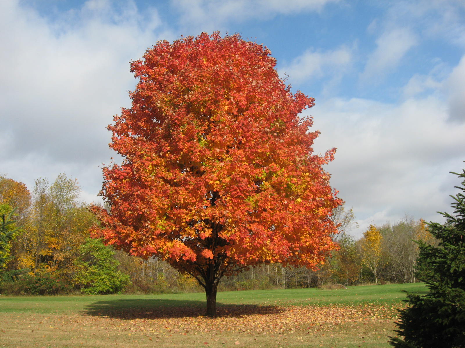 Maple tree at home