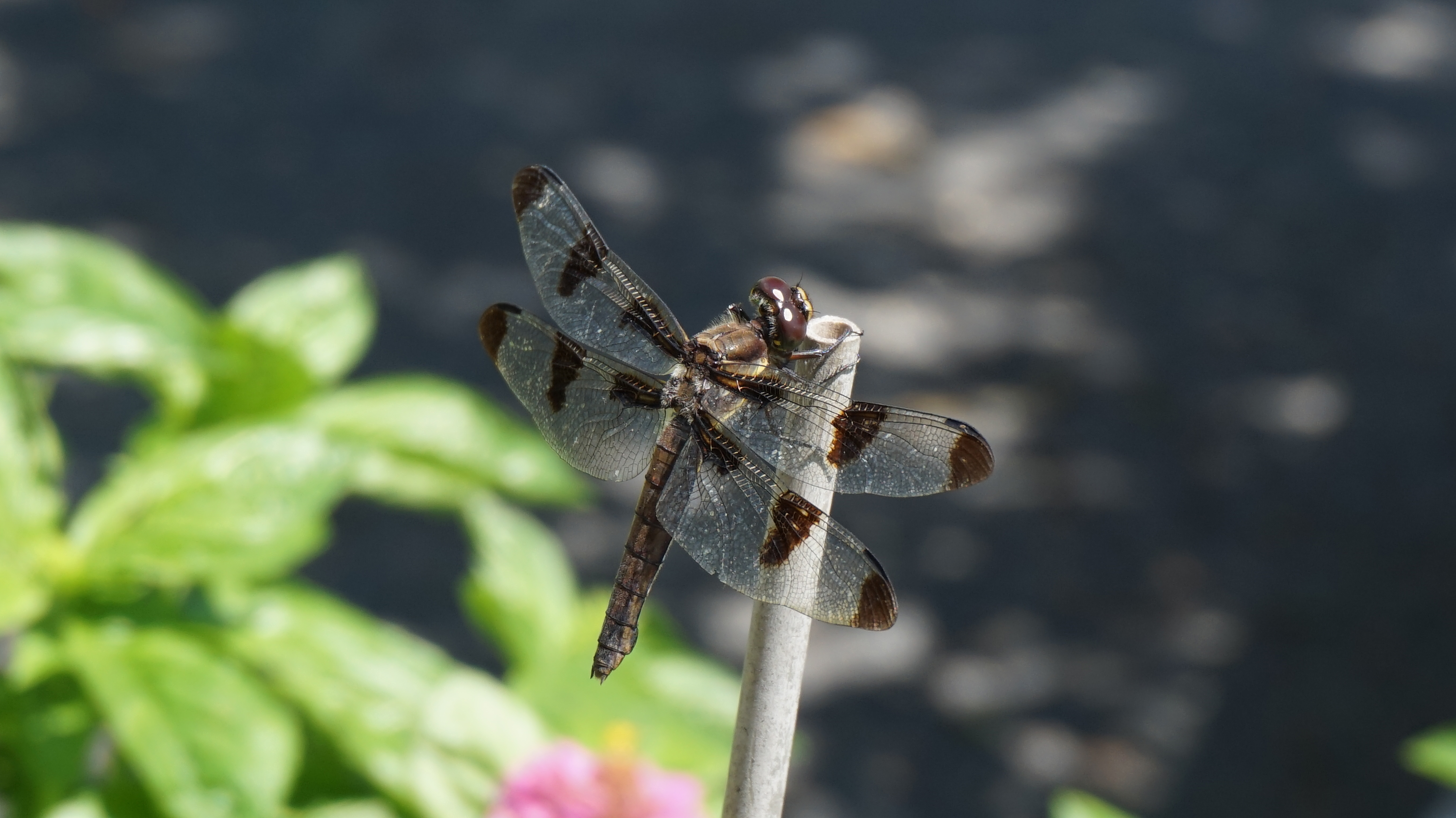 Brown dragonfly B 8-25-2014
