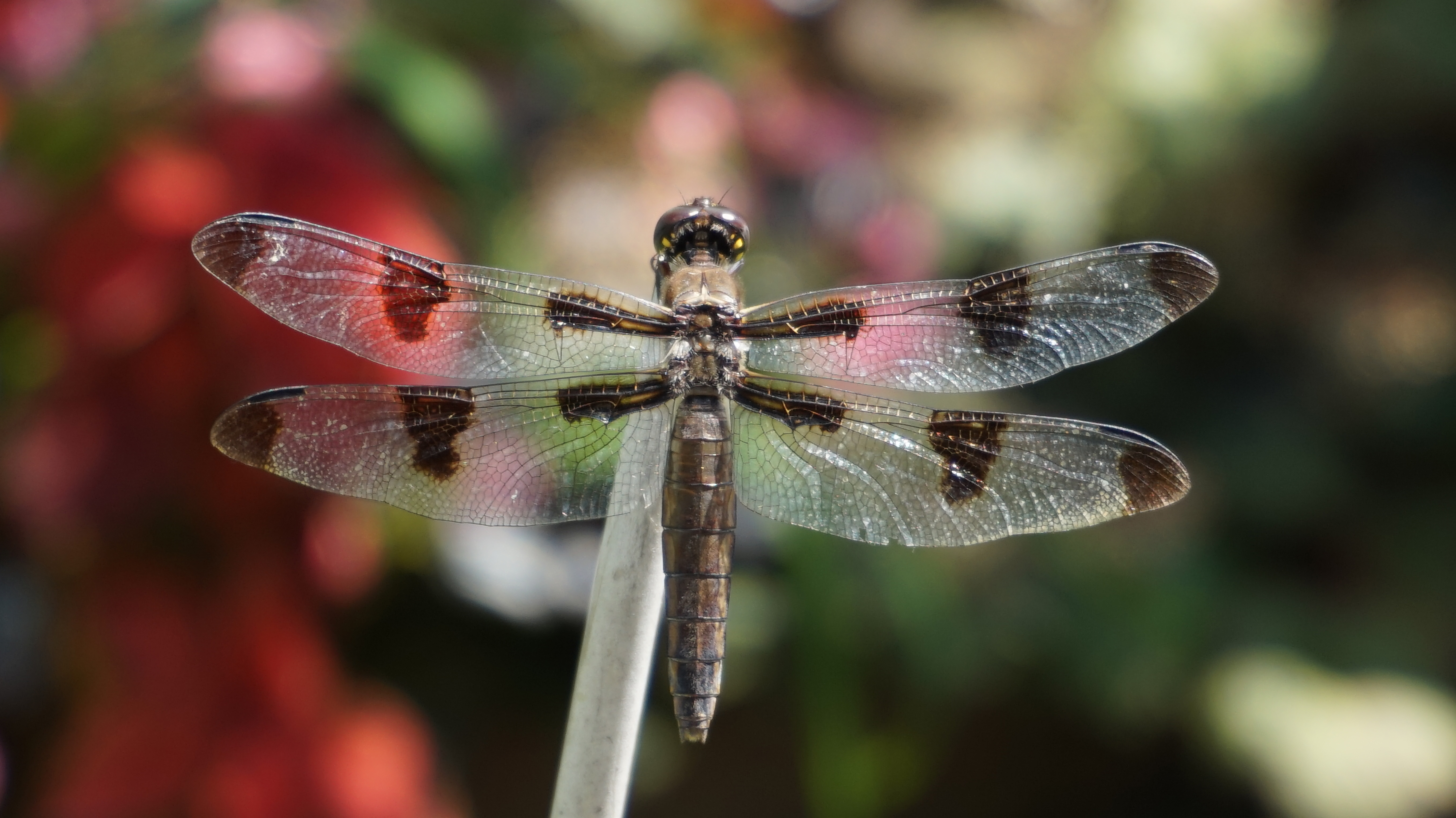 Brown dragonfly C 8-25-2014