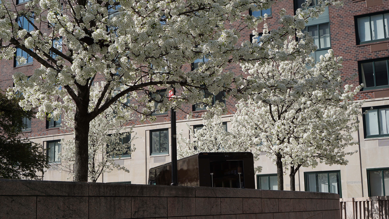 Apple trees blooming B 4-24-2015