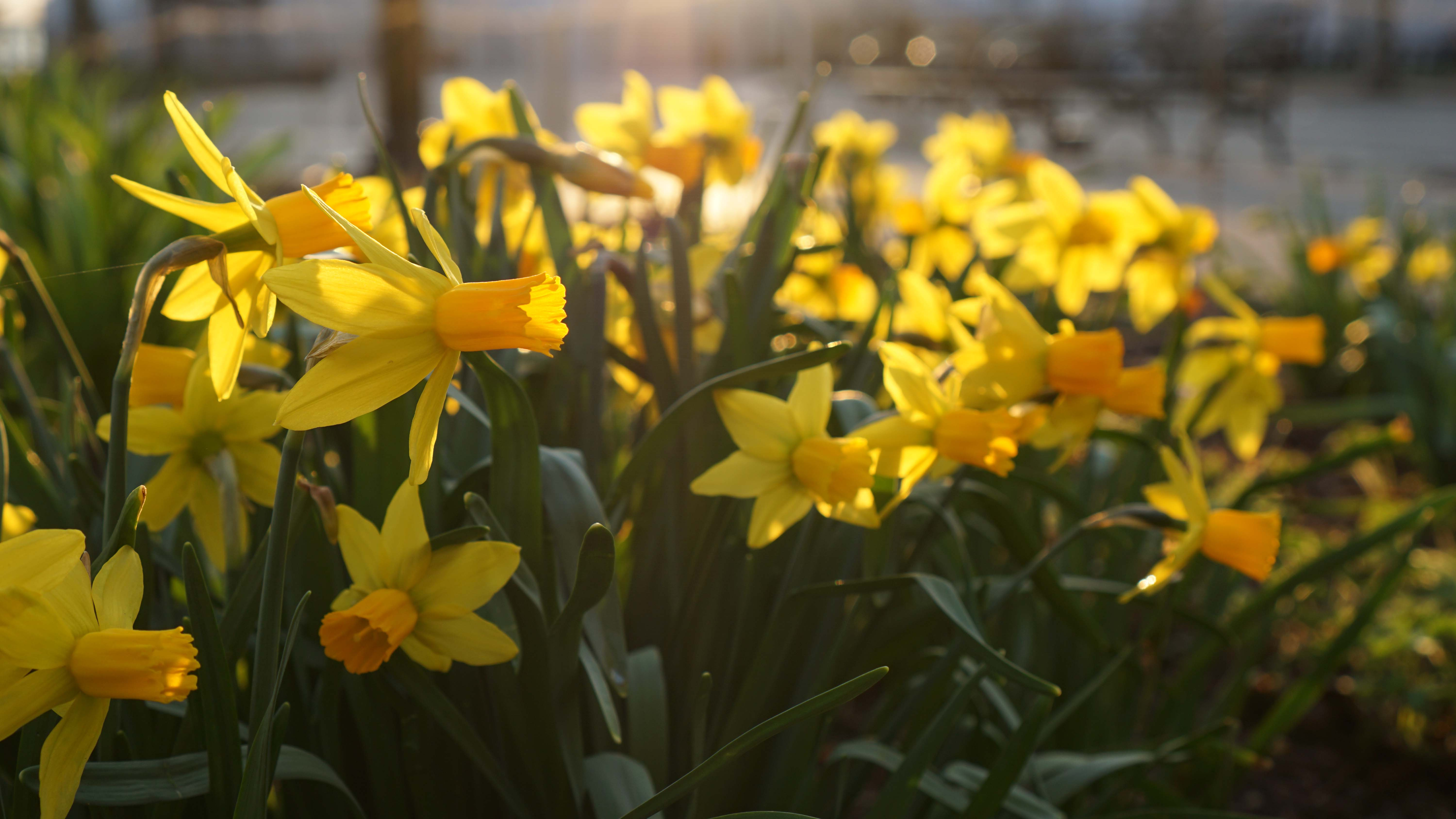 Battery Park Conservancy open daffodil