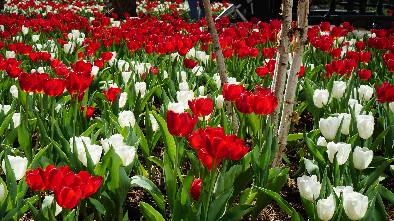 Brookfield tulips 2015