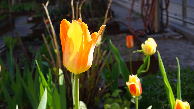 Tulip 4-24-2015