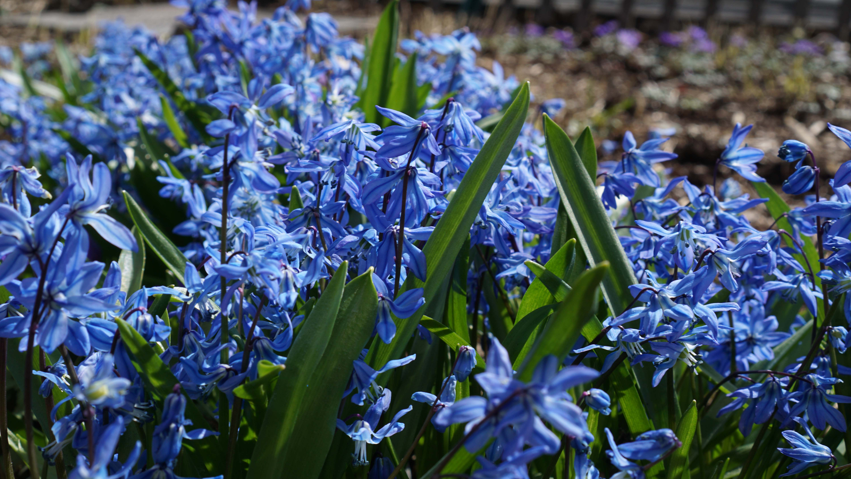 blue spring flowers 2015