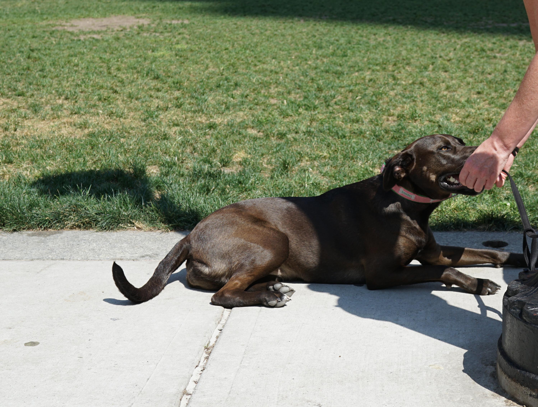 Brown Labrador