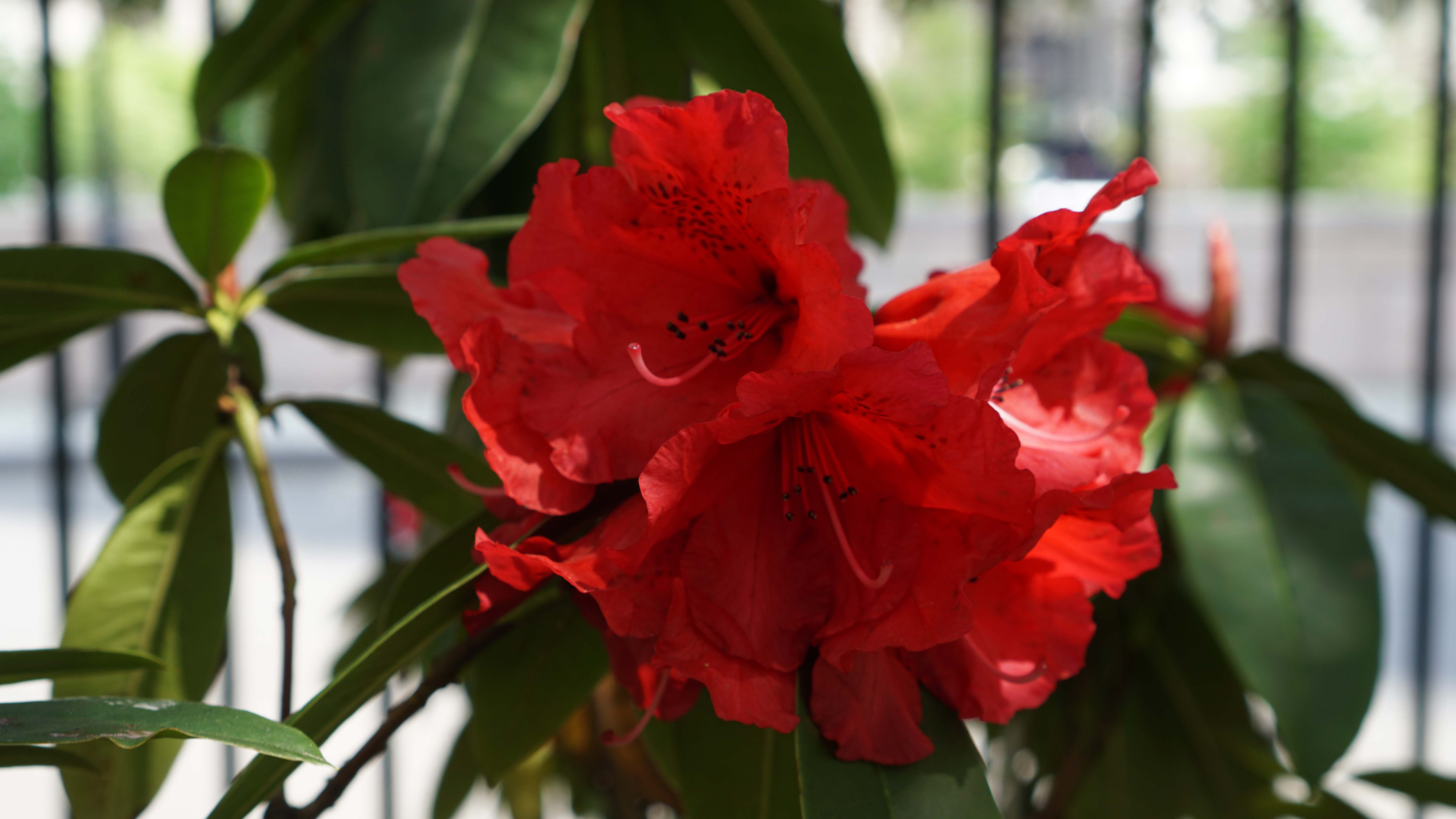 Red rhodedendron close