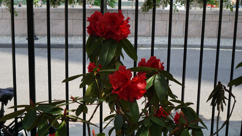 Red rhodedendron wide