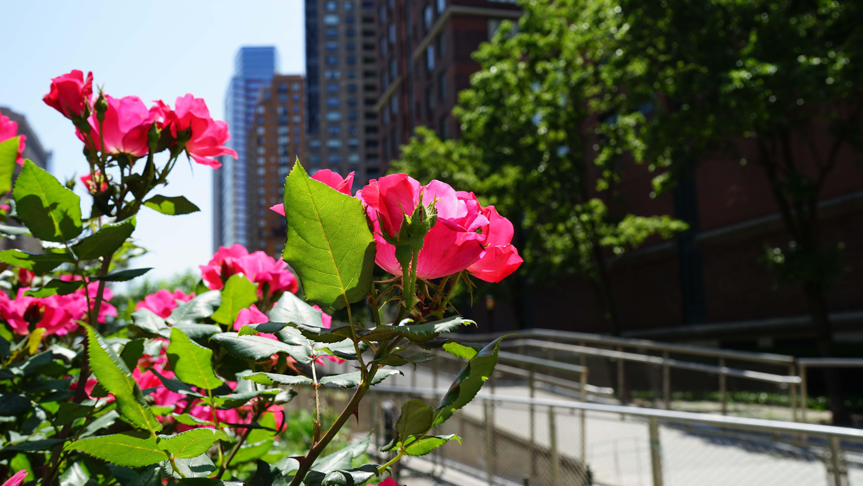 Rose 5-29-2015