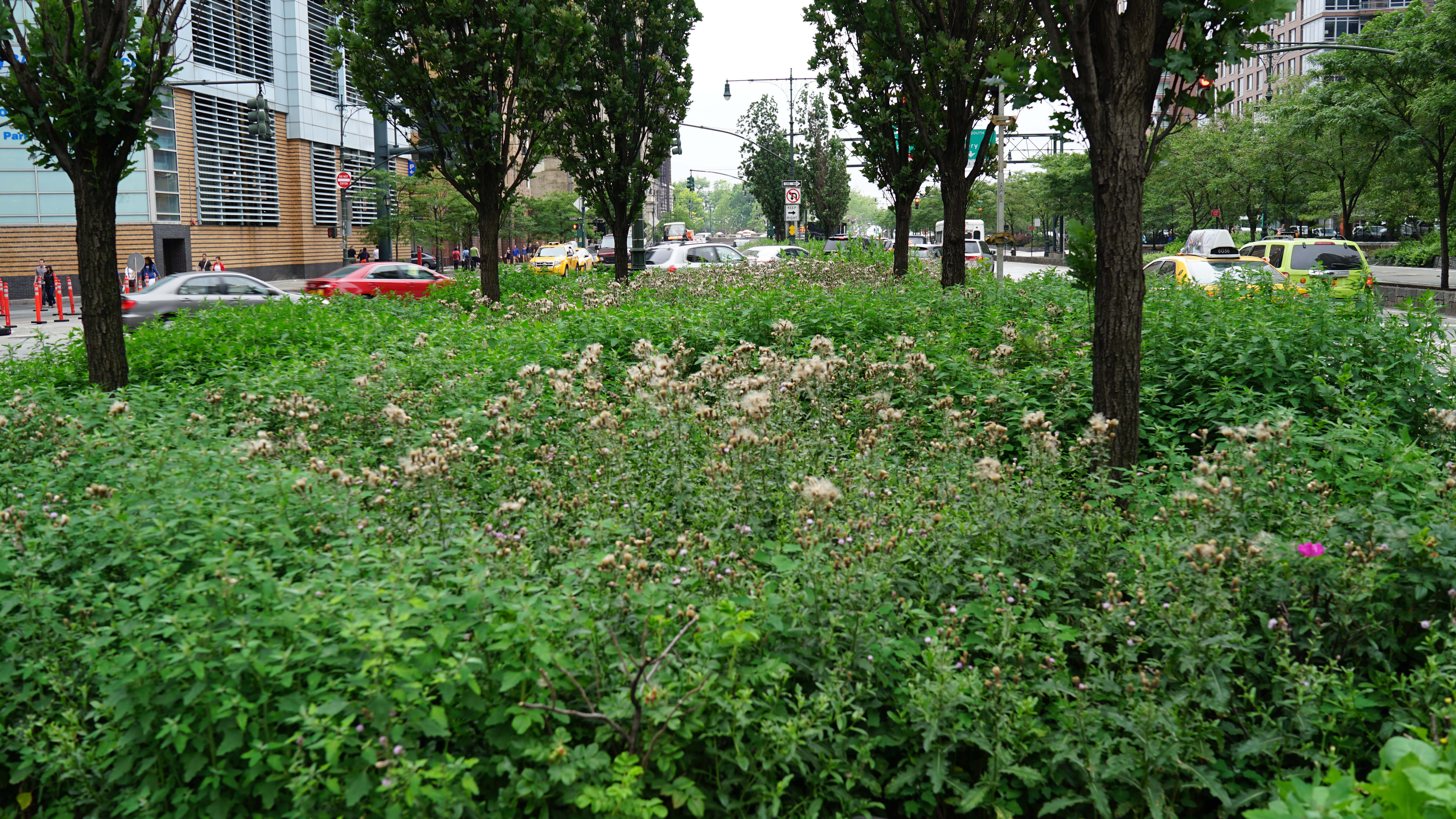 9A median weeds looking south 6-20-2015