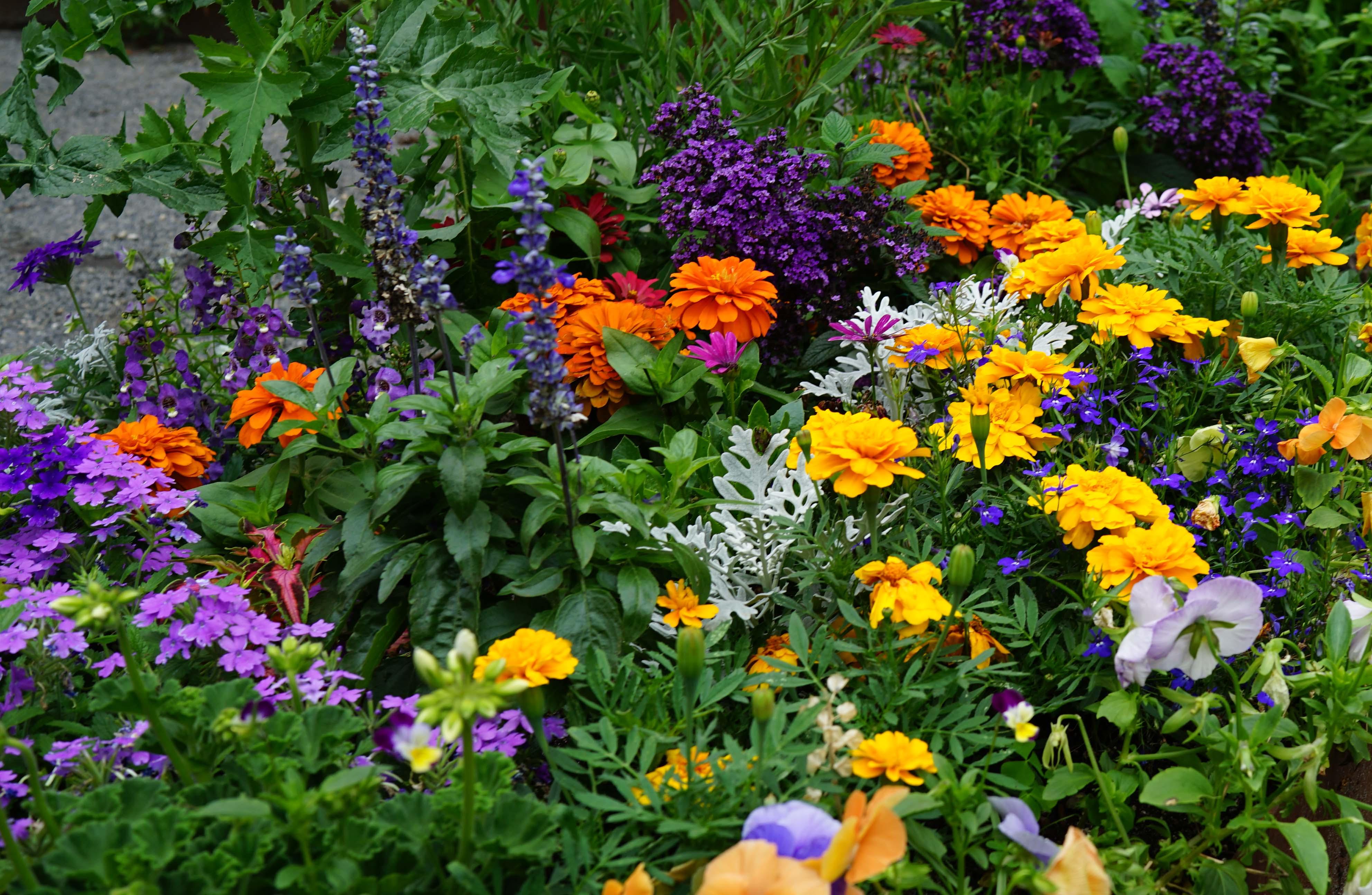 Garden mixed annuals