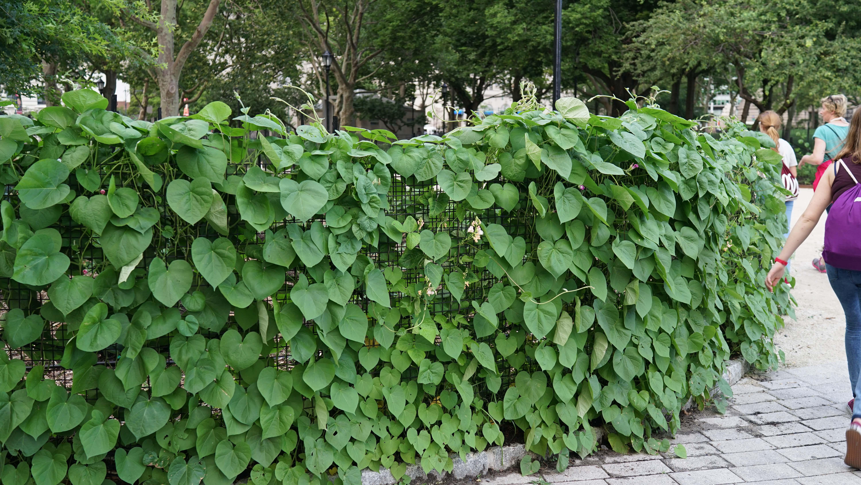 The Battery garden bean wall