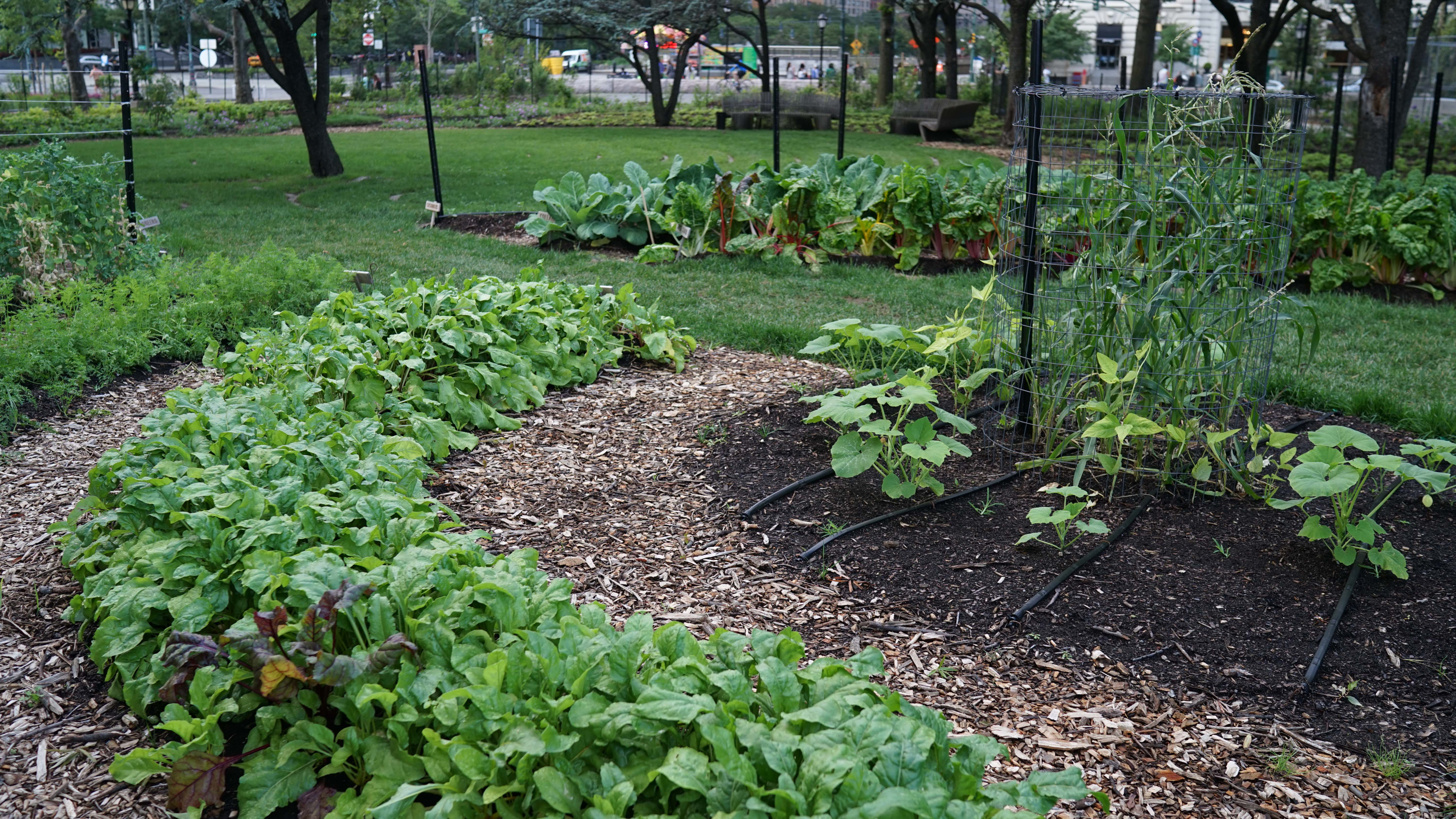 The Battery garden corn and lettuce
