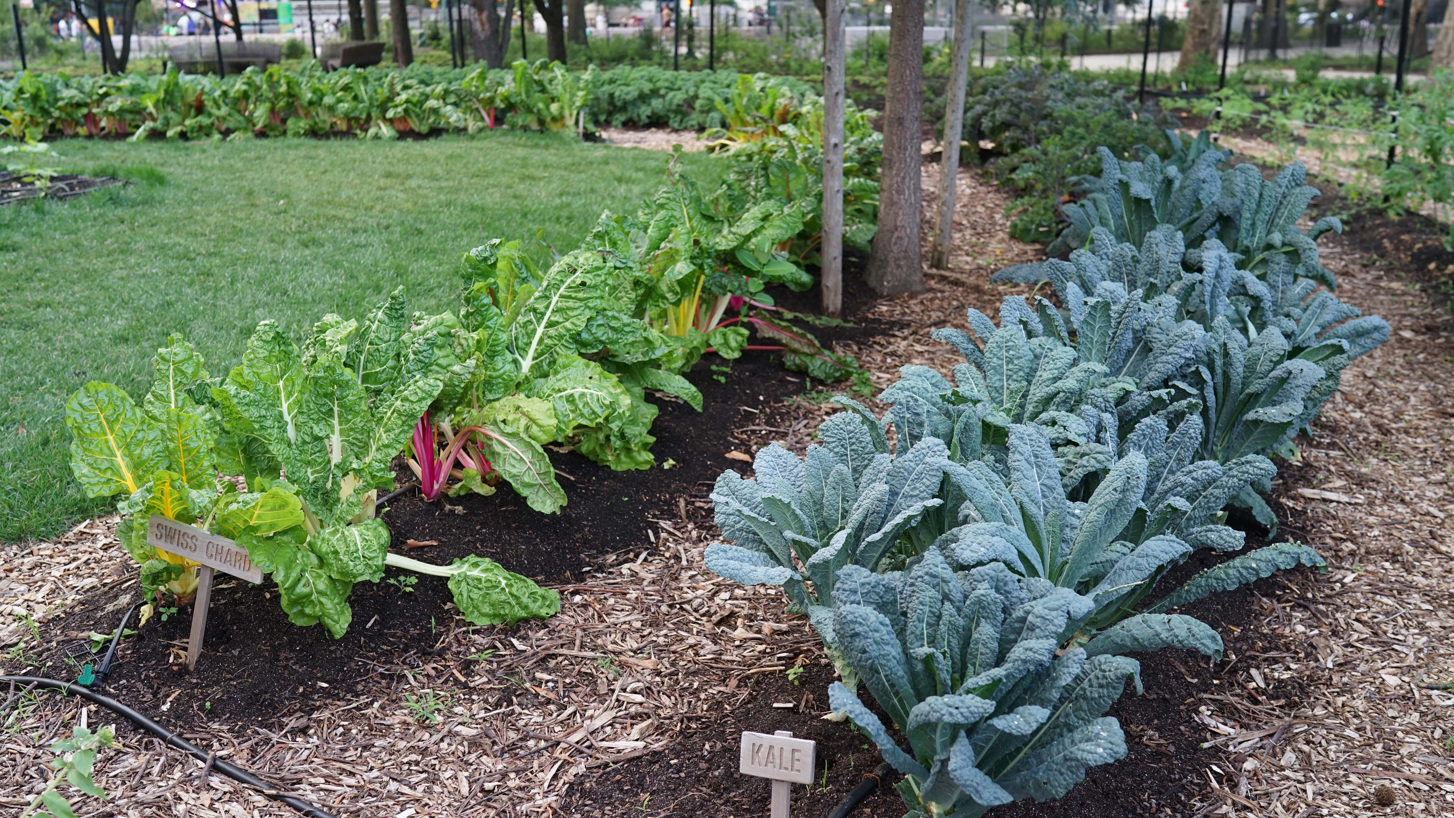 The Battery garden kale and chard