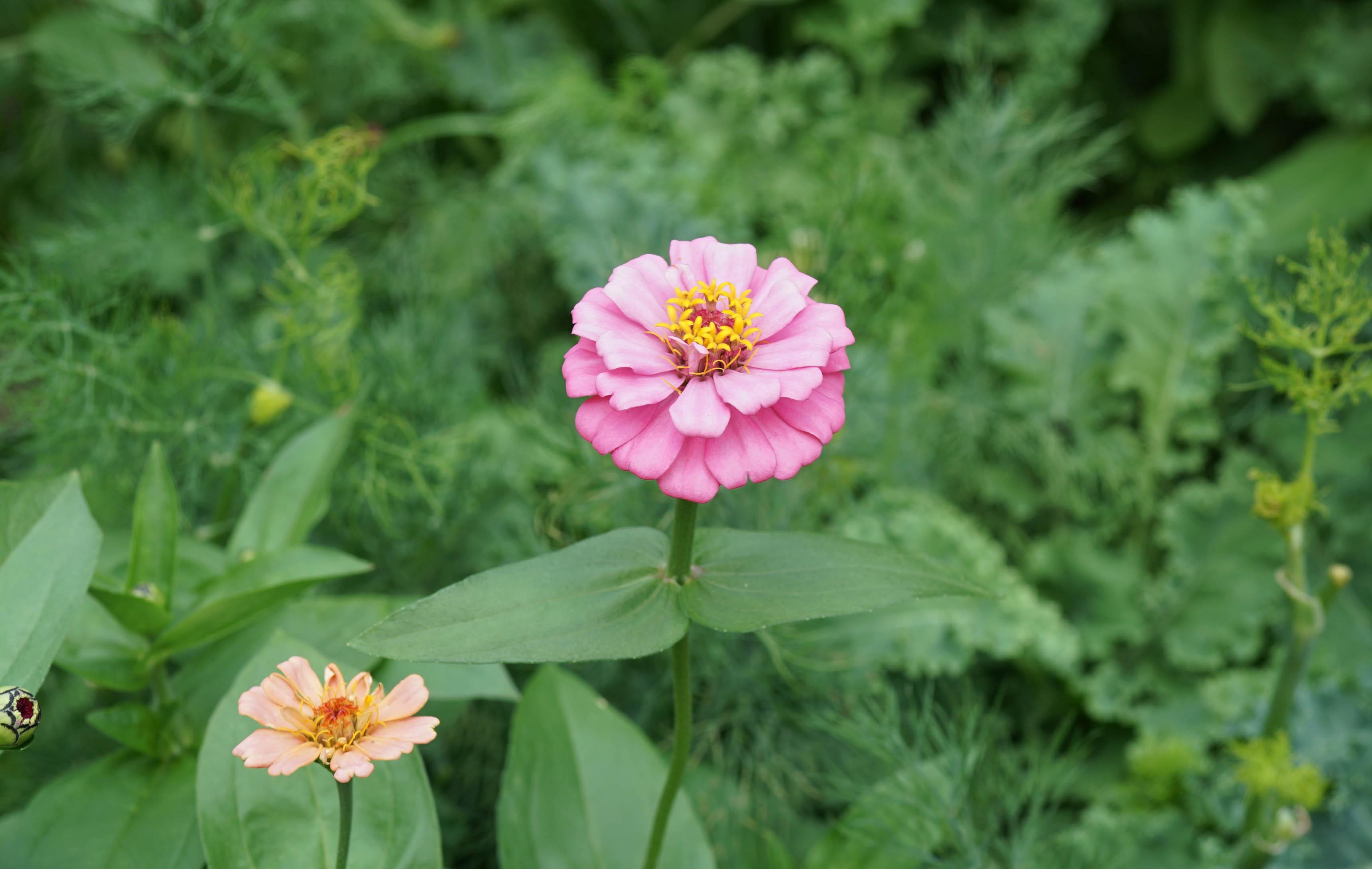 Zinnia pink 6-30-2015