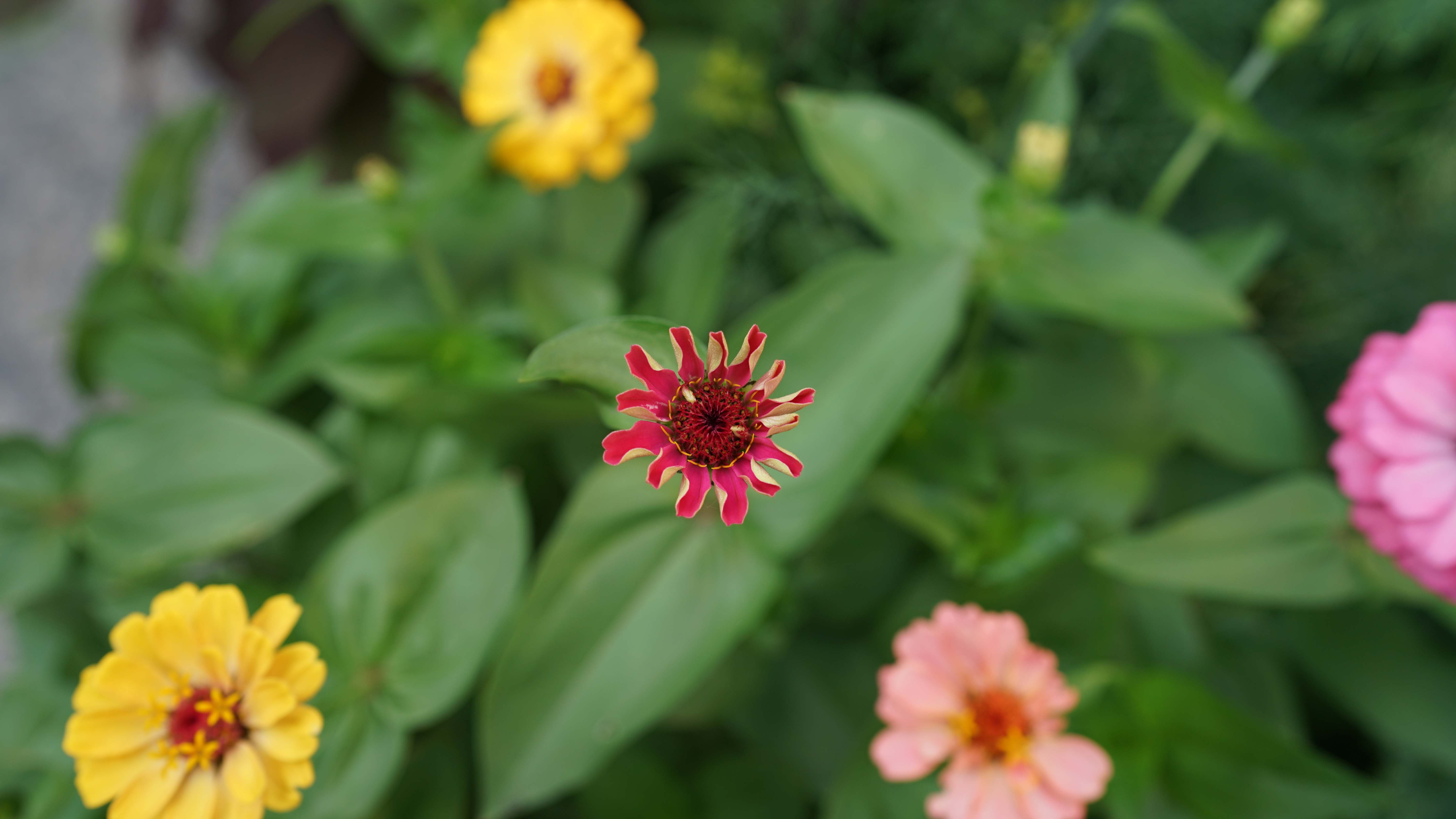 Zinnia from top