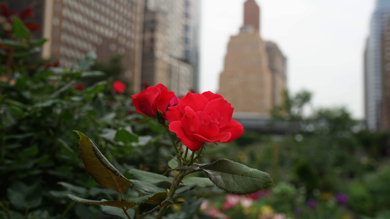 red rose 7-2-2015
