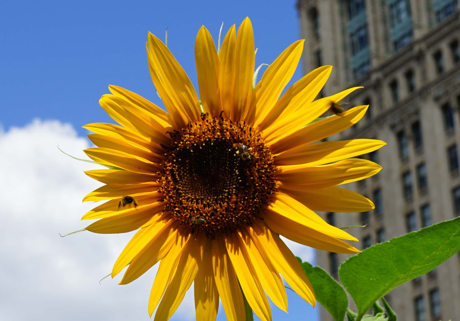 bees on sunflower A 8-13-2015