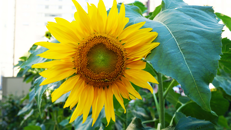 sunflower head 8-22-2015