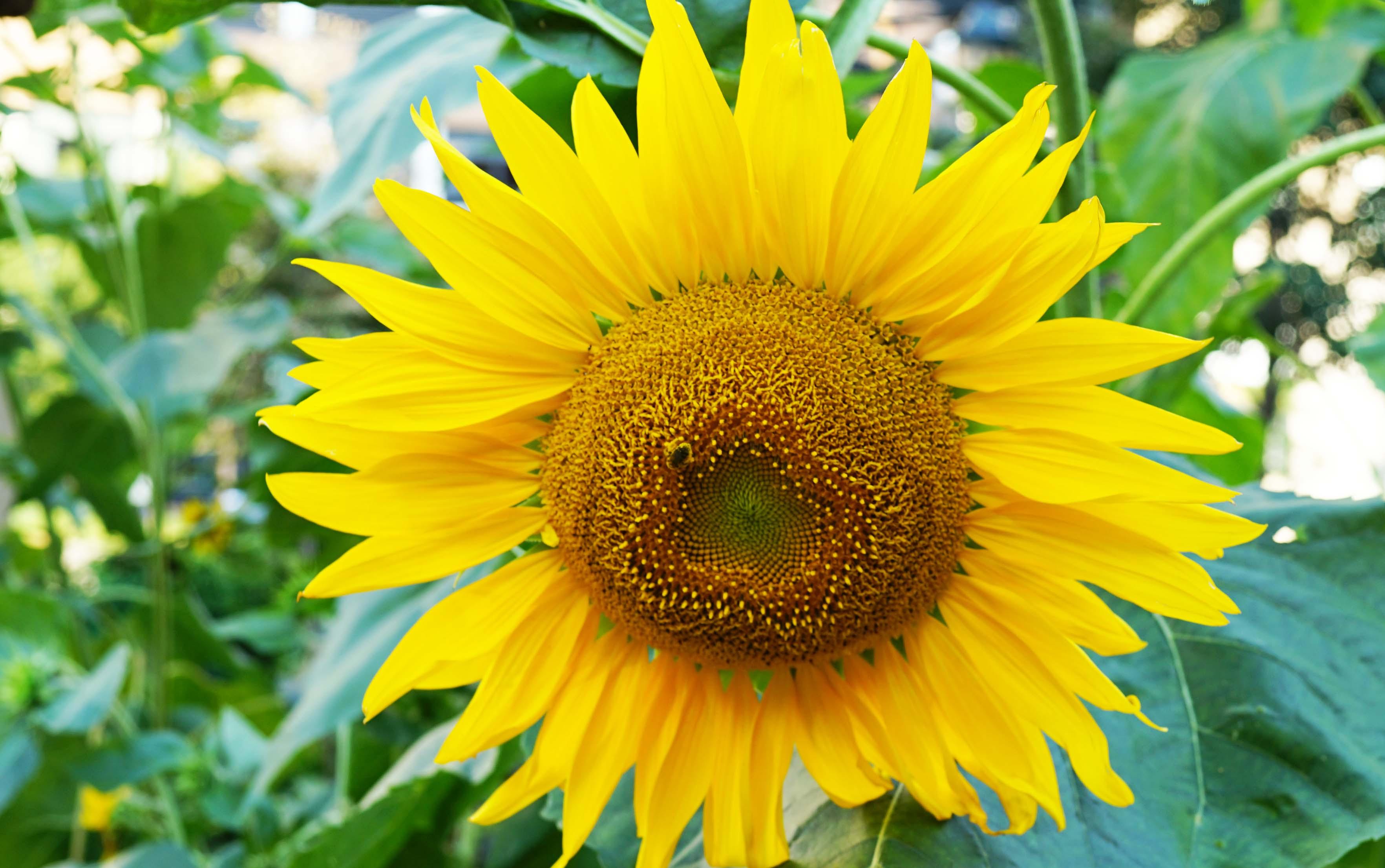 sunflower head 8-24-2015