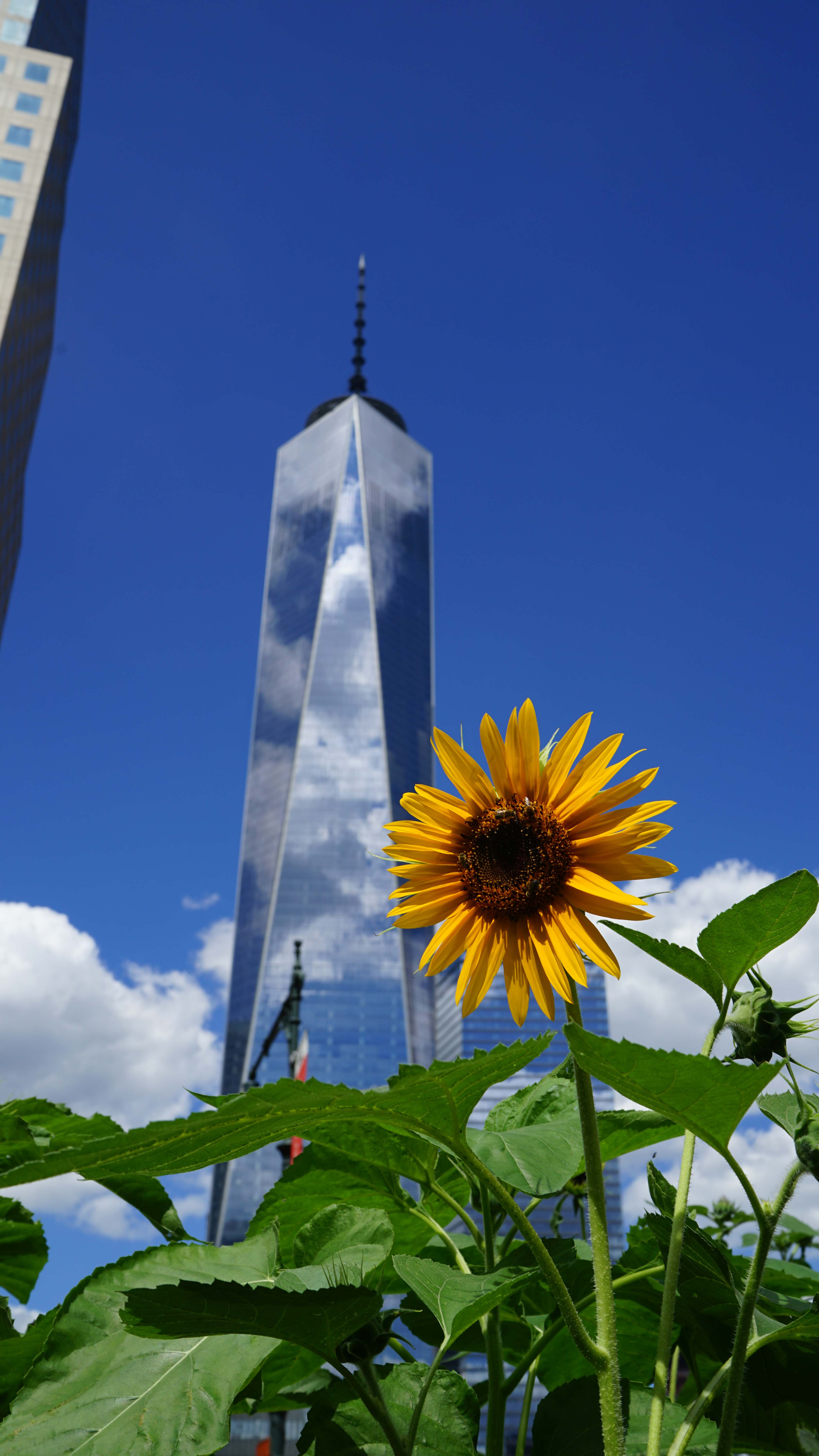 sunflowers and bees and 1 WTC 8-13-2015