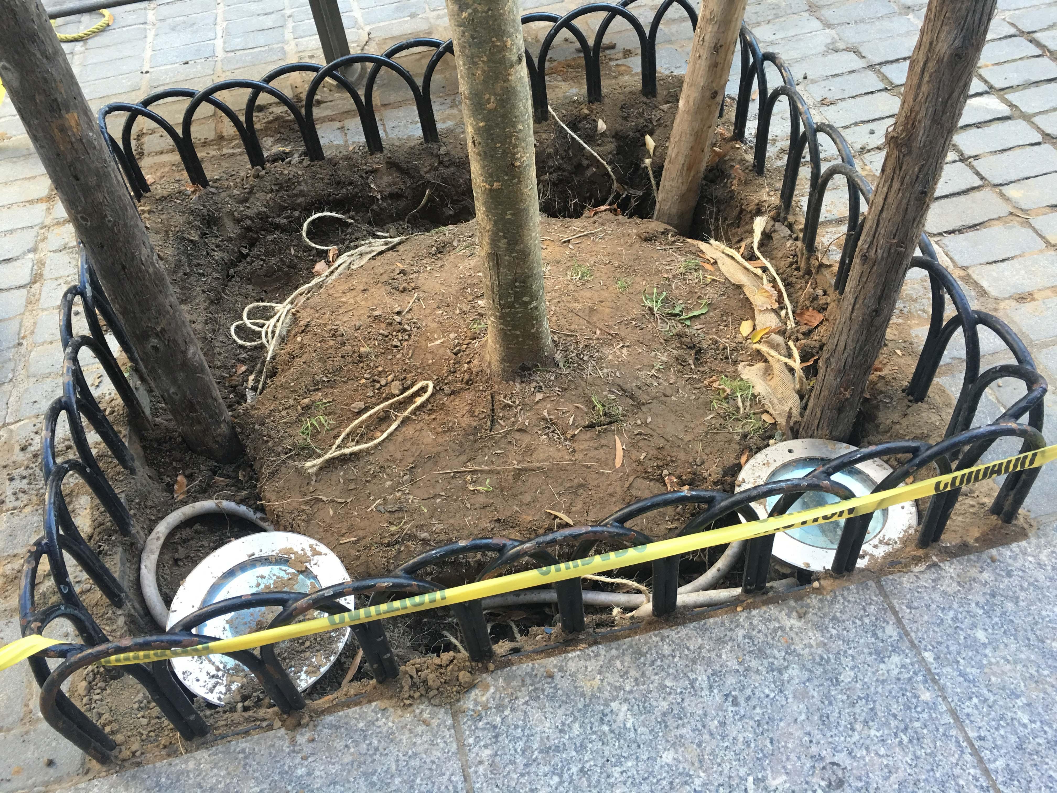 Honey locust root ball in ground