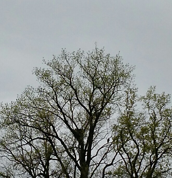 Ohio Bald Eagles