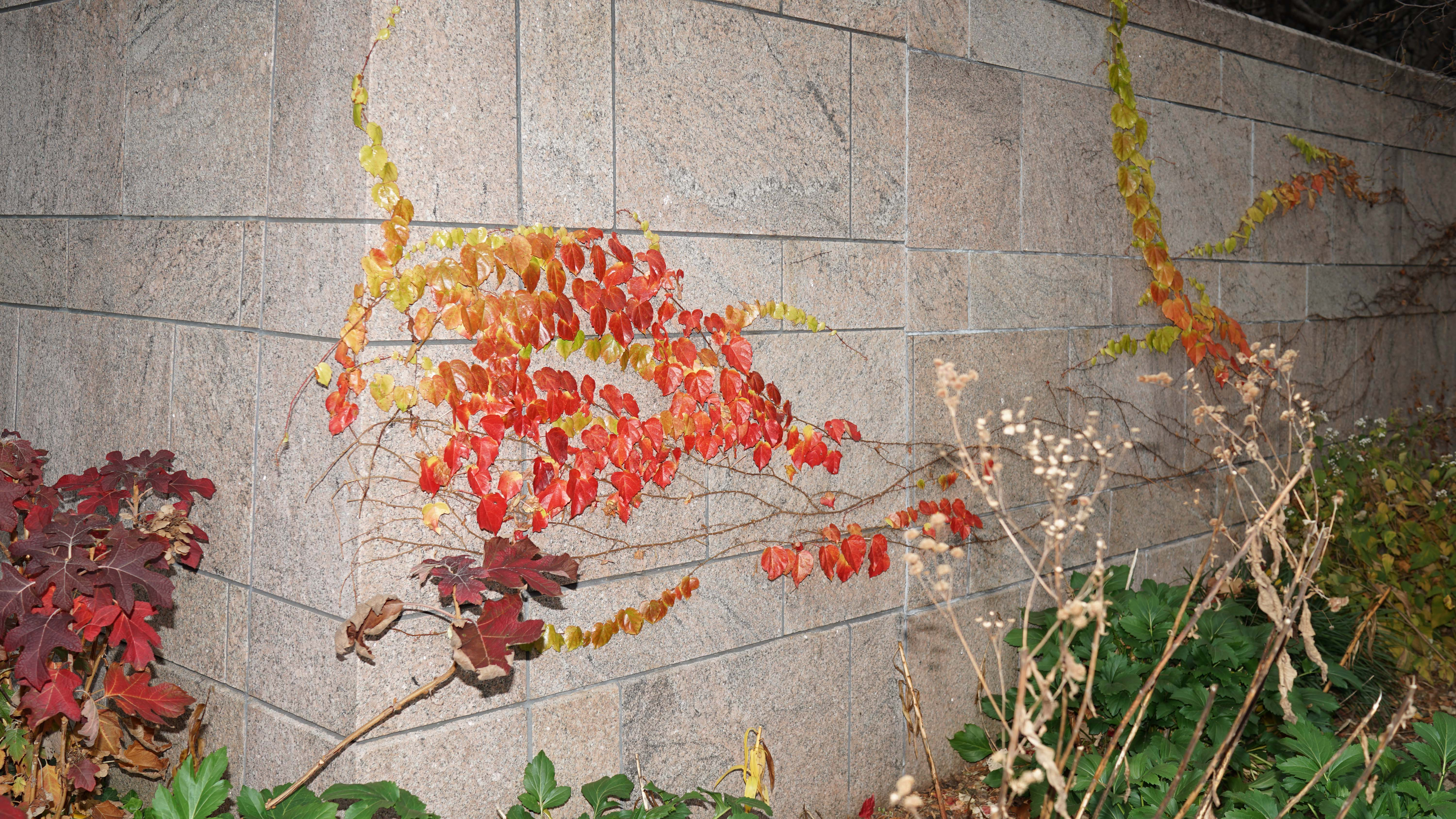 Red ivy on Albany