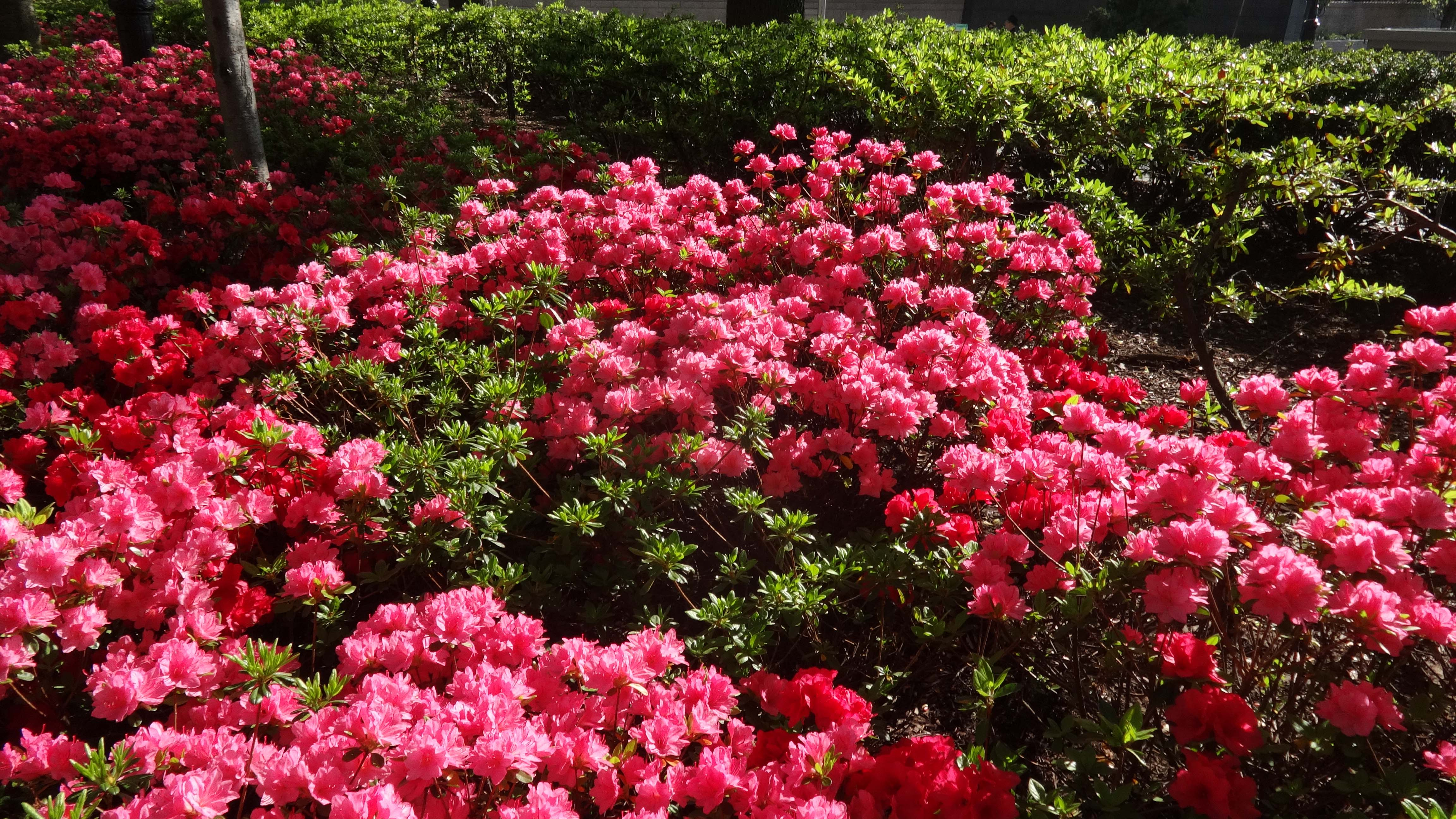 Brookfield cherry circel azaleas close