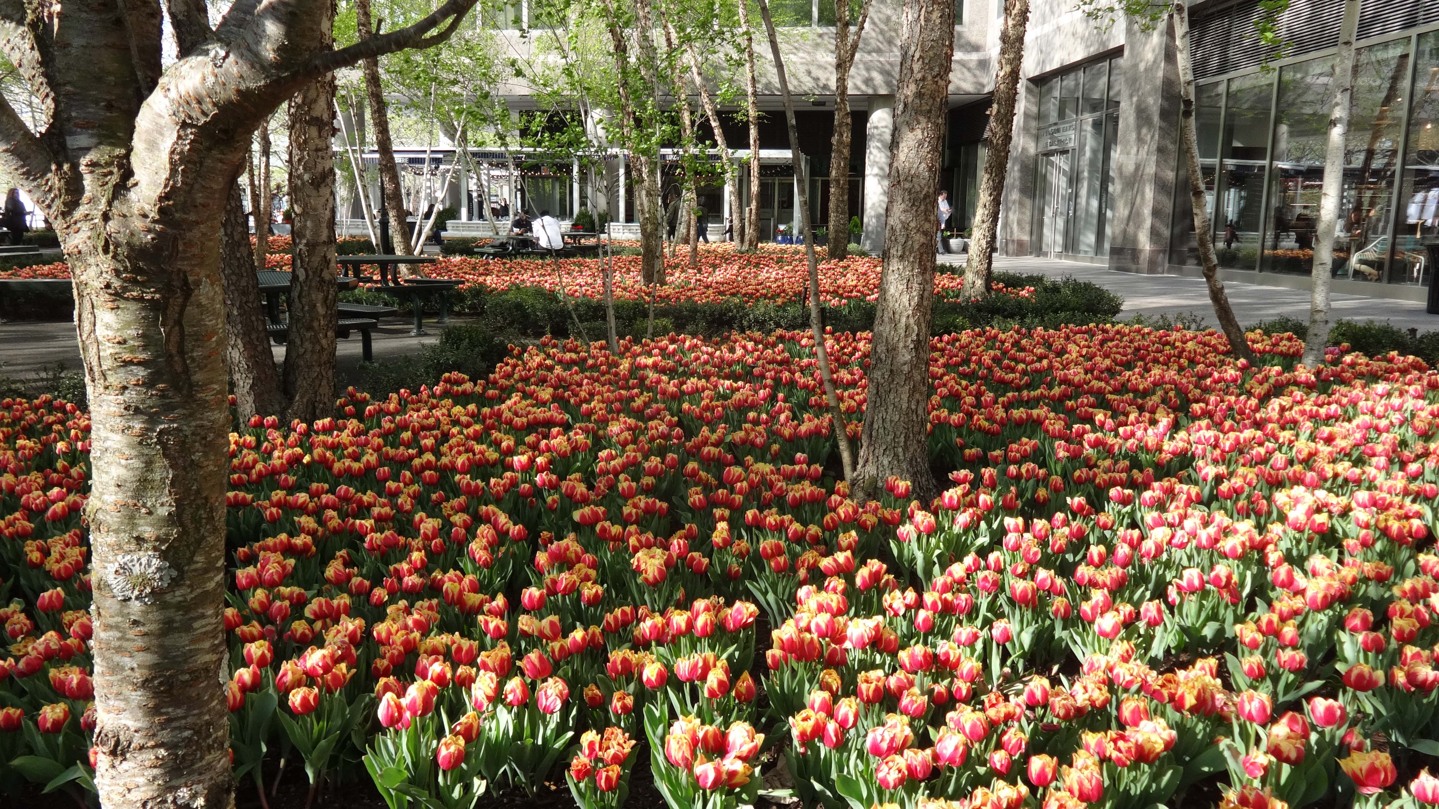 Brookfield tulips