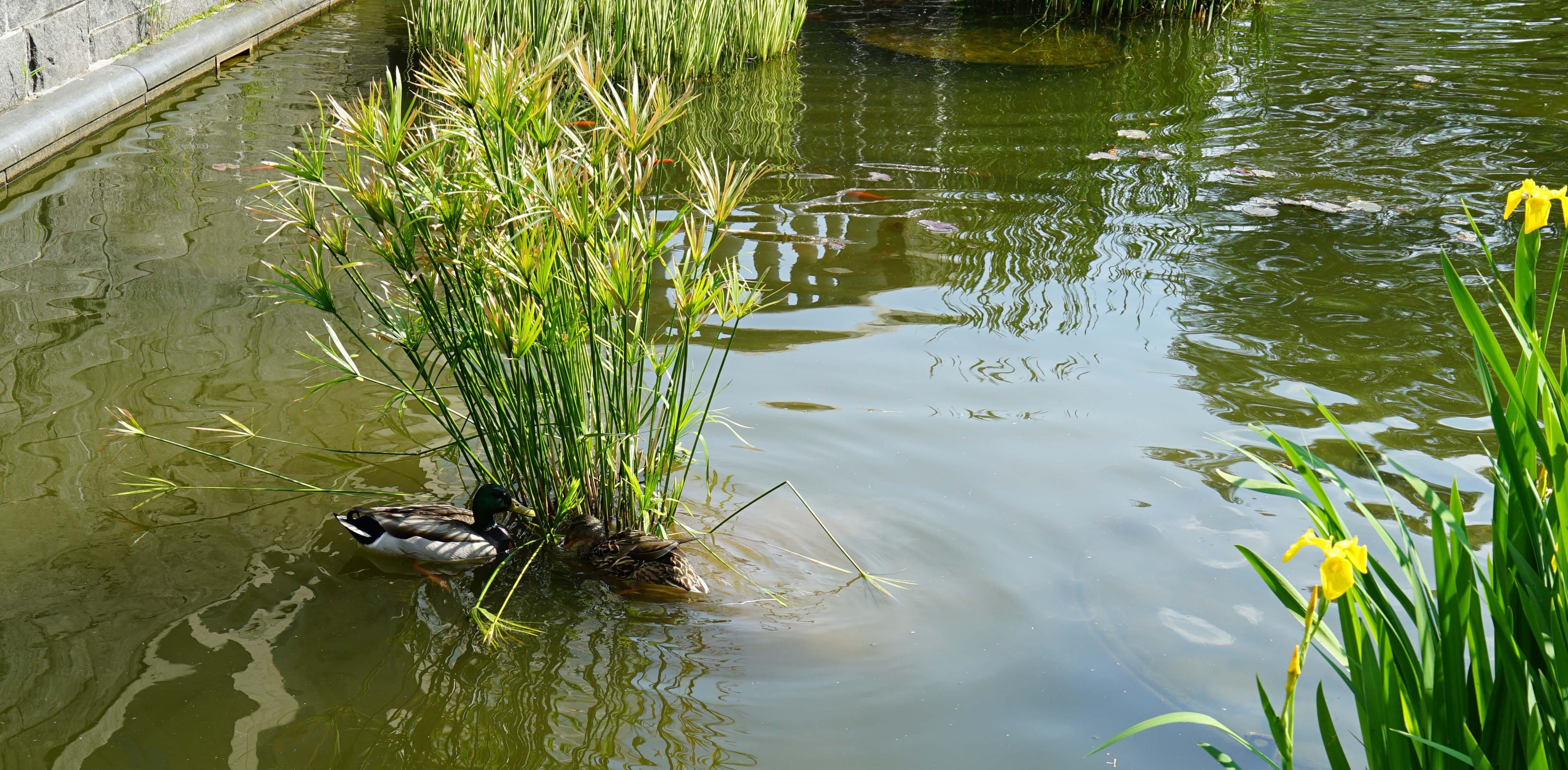 Ducks eating 5-28-2016