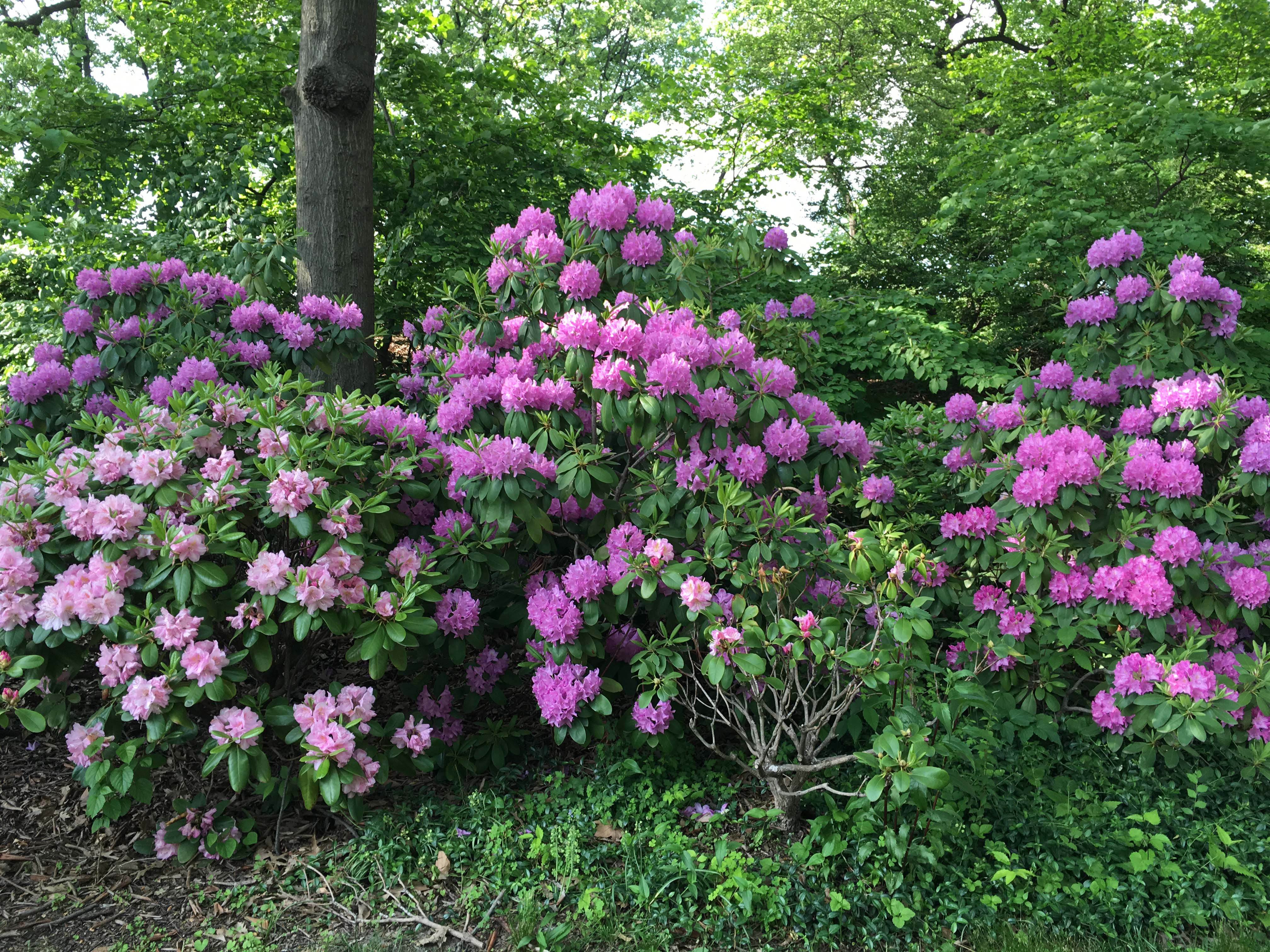Purple Rhododendron central park