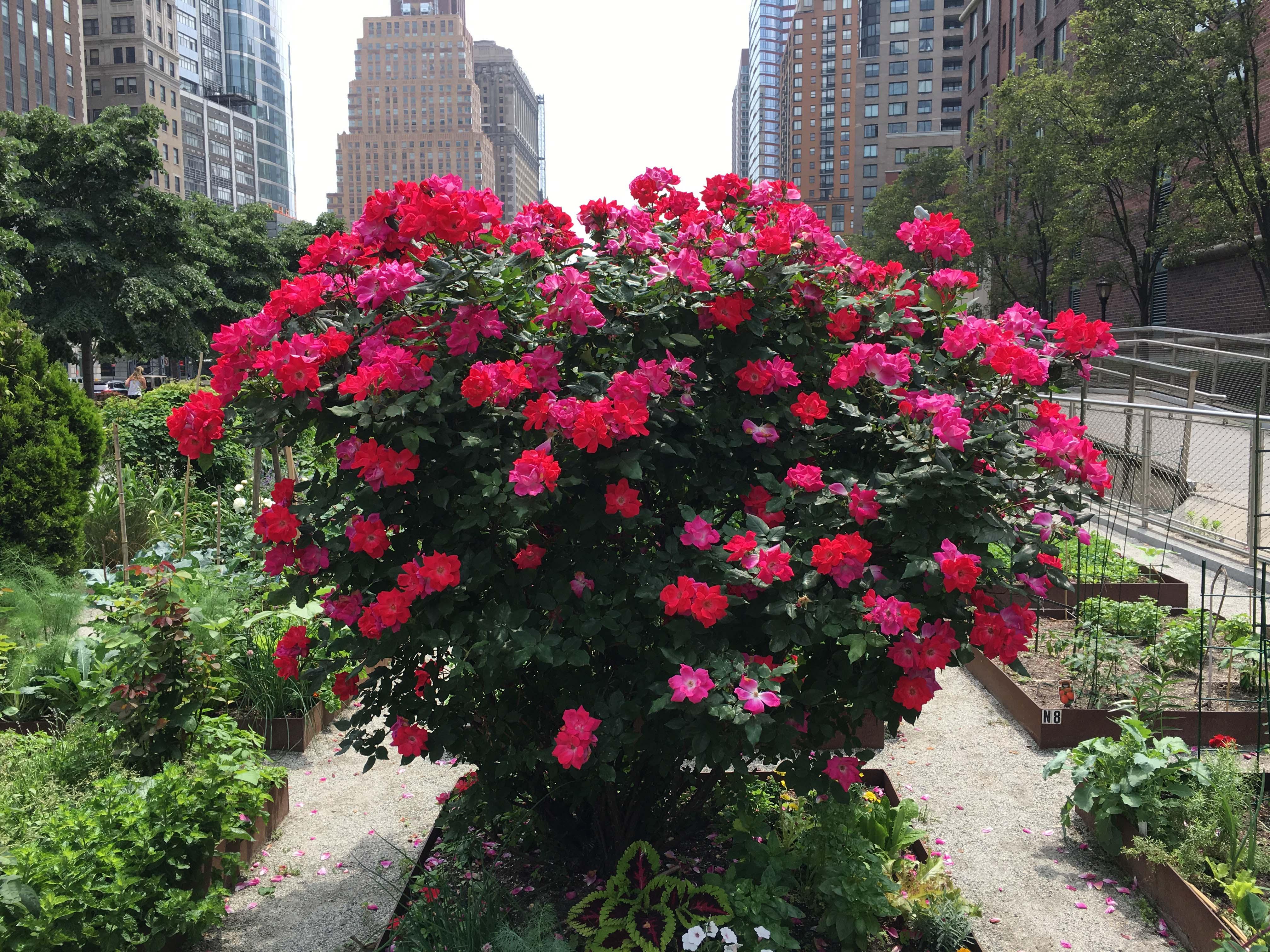 Garden entrance rose bush 2016