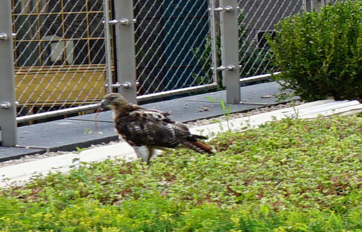 Liberty park falcon zoom