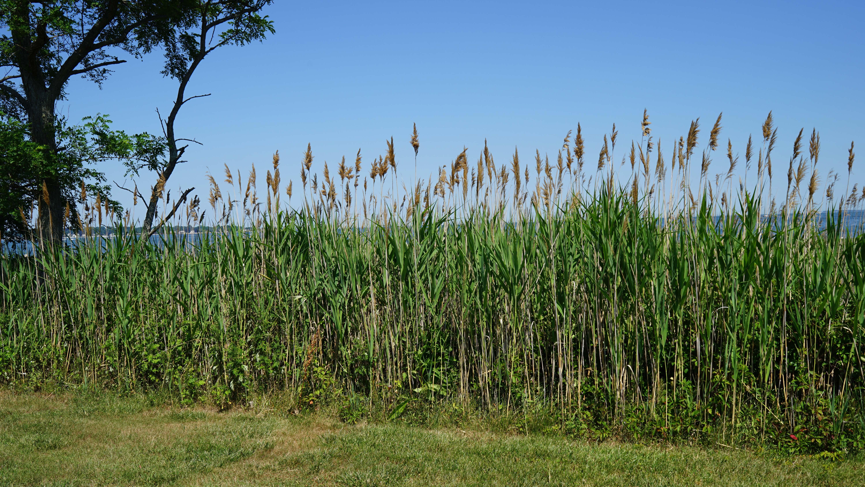 Tall beach grass Tods Point