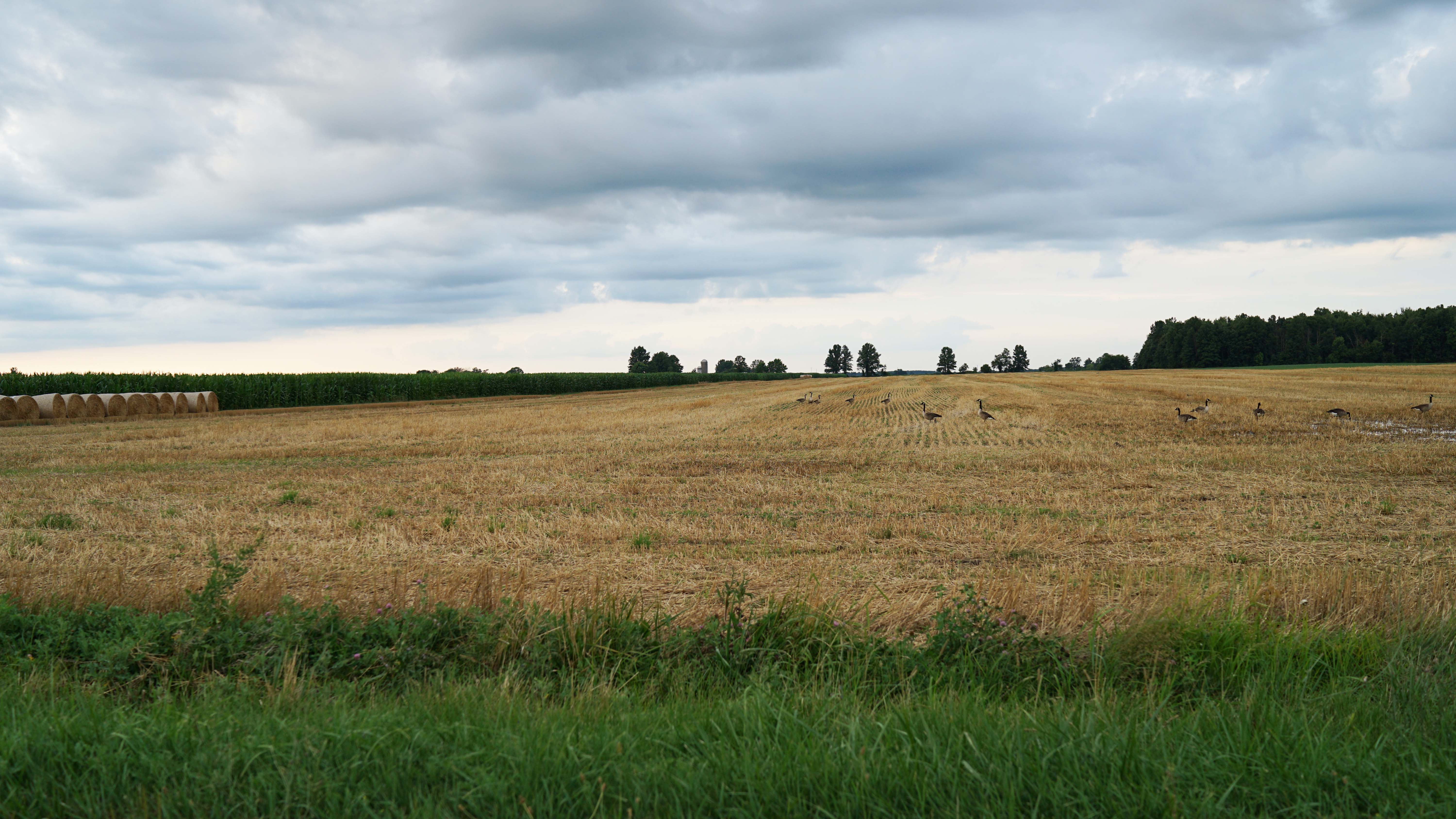 Geese in field on Troutman Rd 7-18-2016