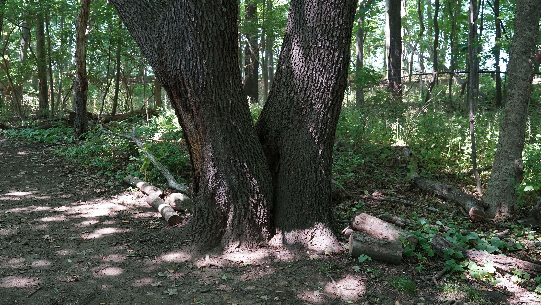 tods point split tree trunks